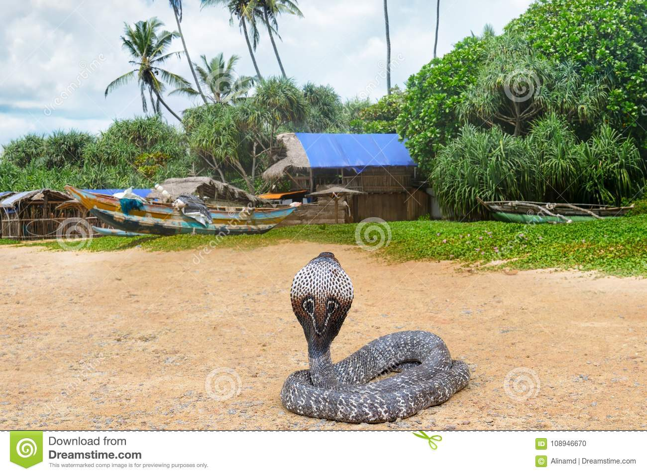 King Cobra In The Wild Nature  Stock Photo - Image of cobra