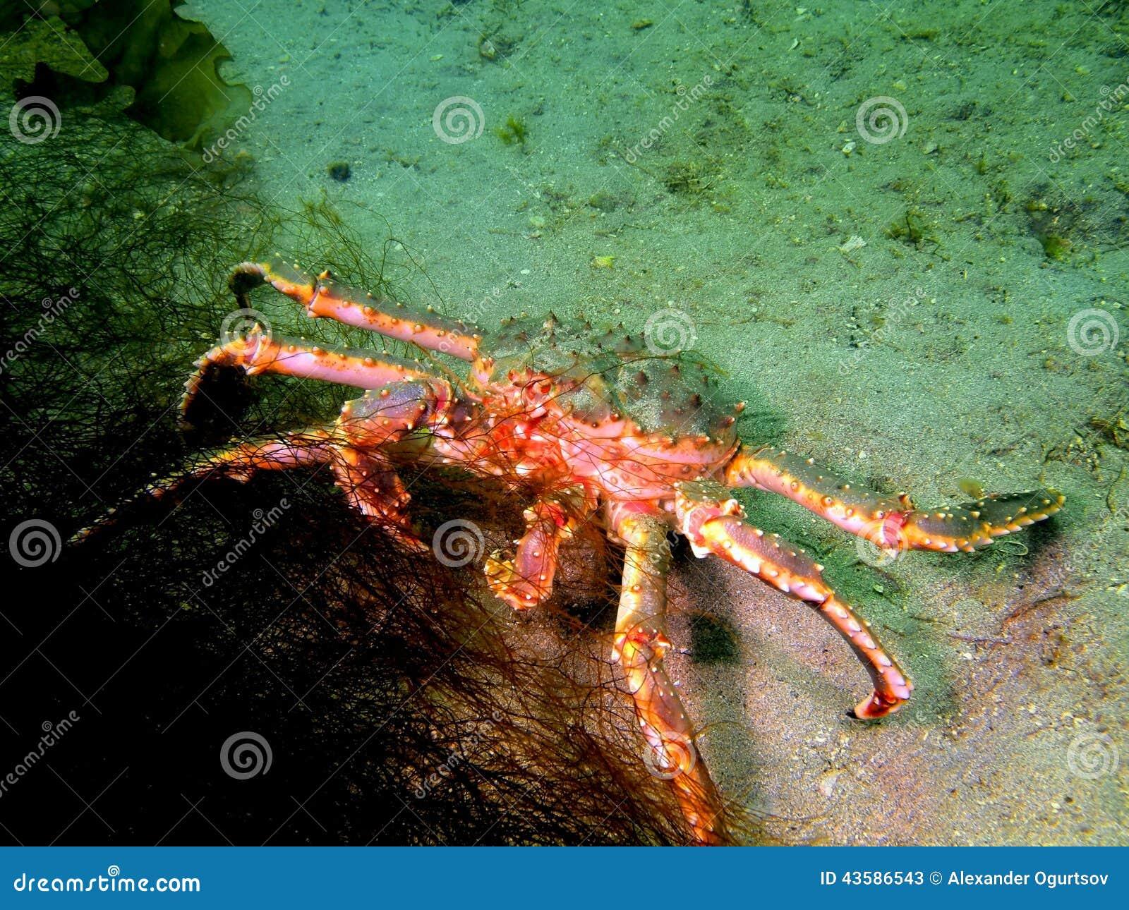 King crab underwater
