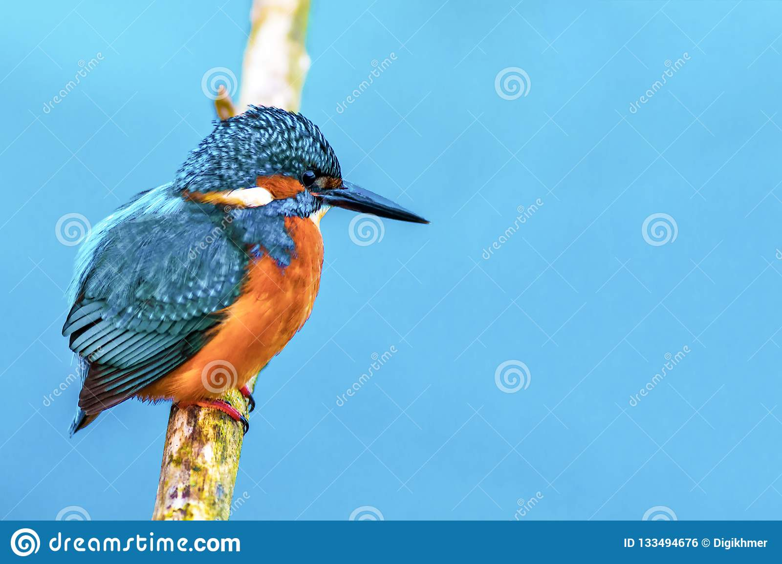 King fisher bird on a branch