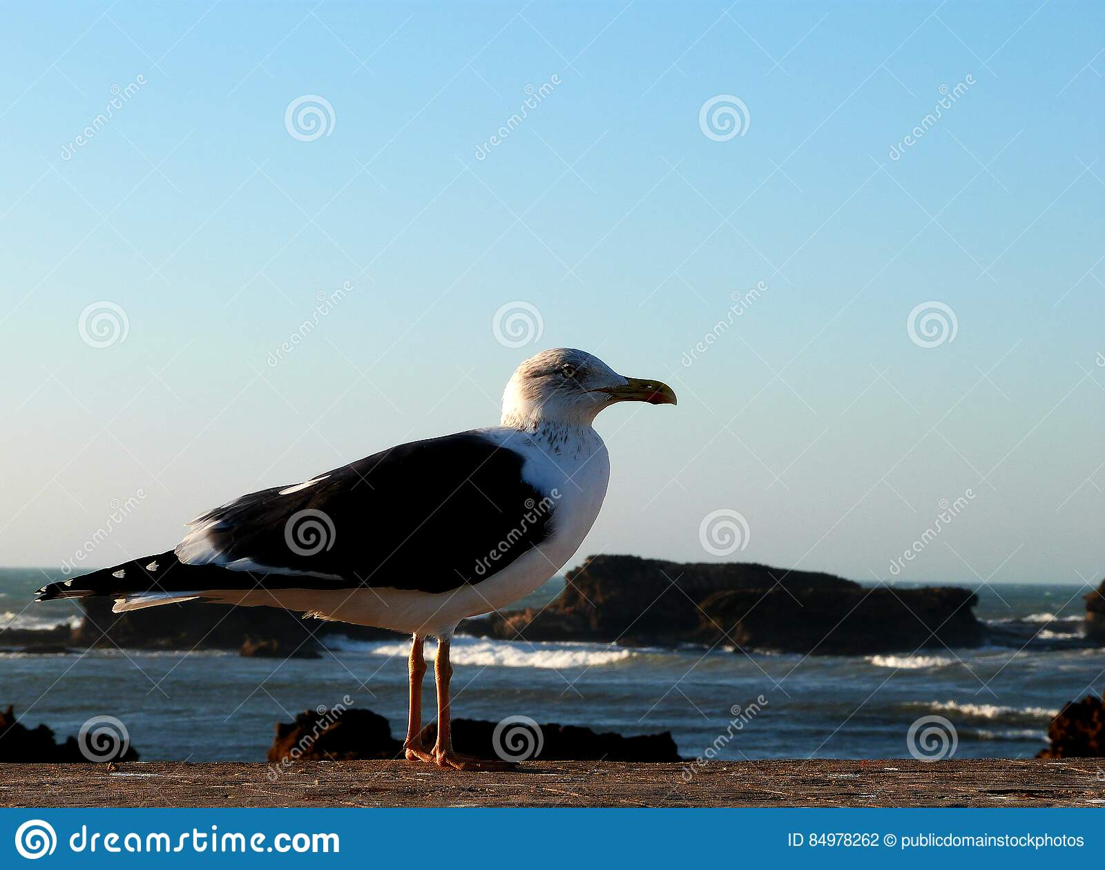 Download King of the fishing port stock photo. Image of morocco - 84978262