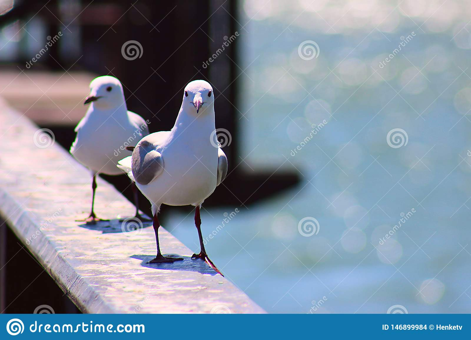 2 king gulls sits on the railing. South Africa