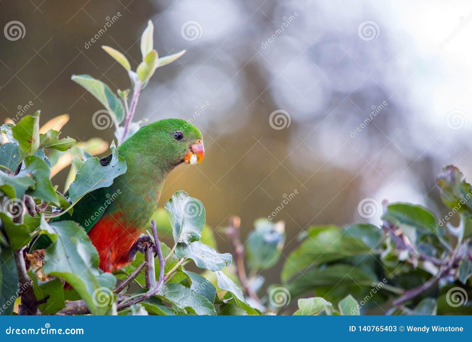 king parrot in apple tree with apple in beak
