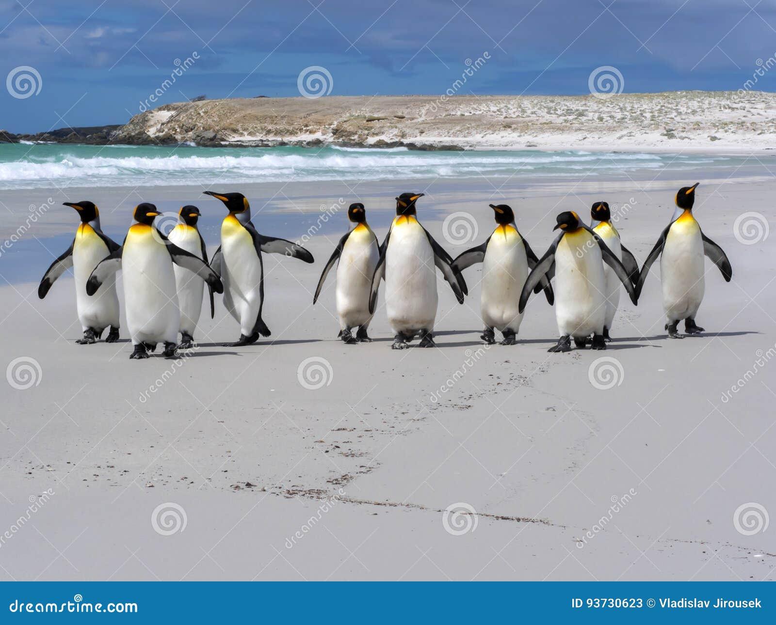 King Penguin Group, Aptenodytes Patagonica, On The White ... Penguin Group