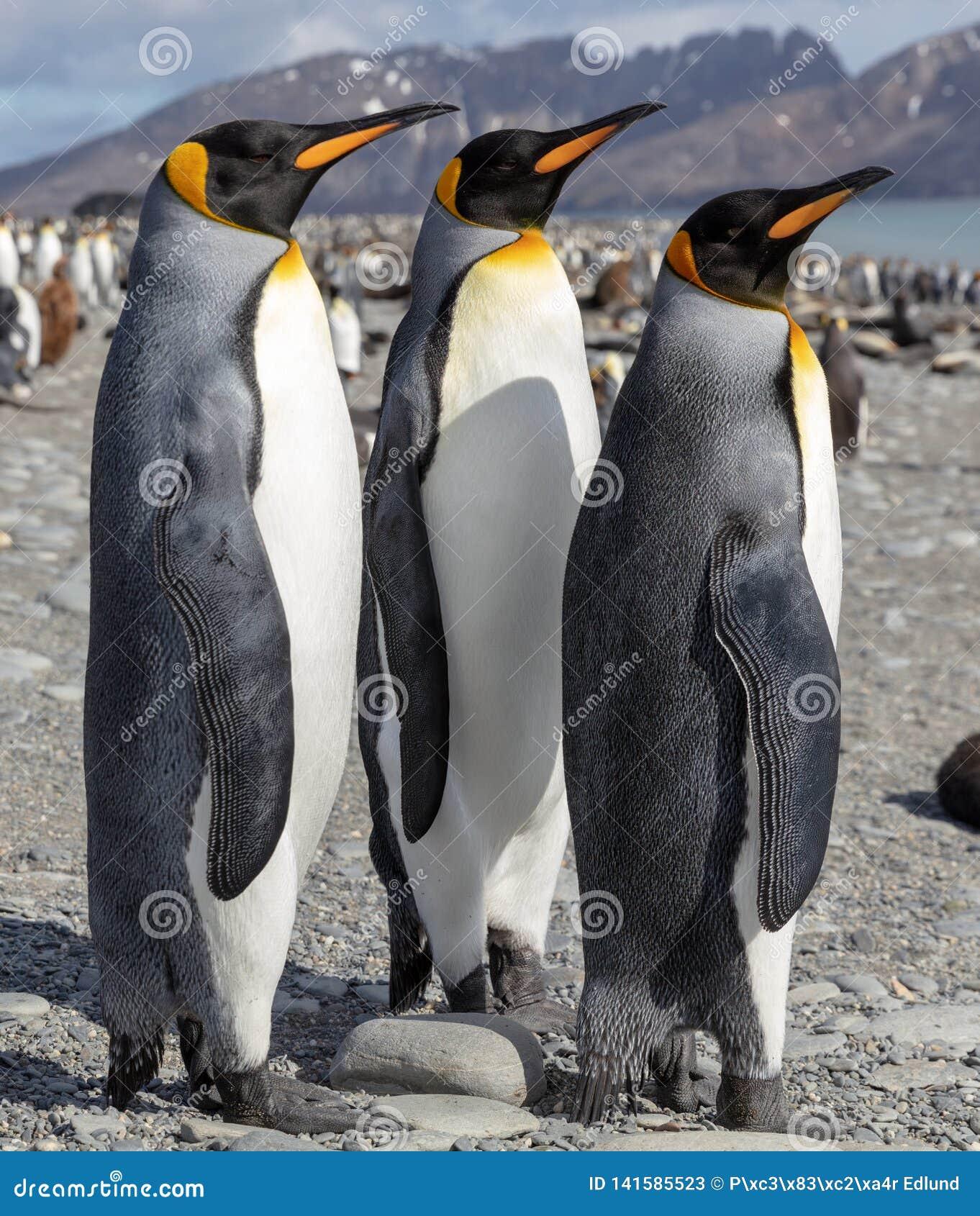 King penguin. Three King penguins socializing on a beach.
