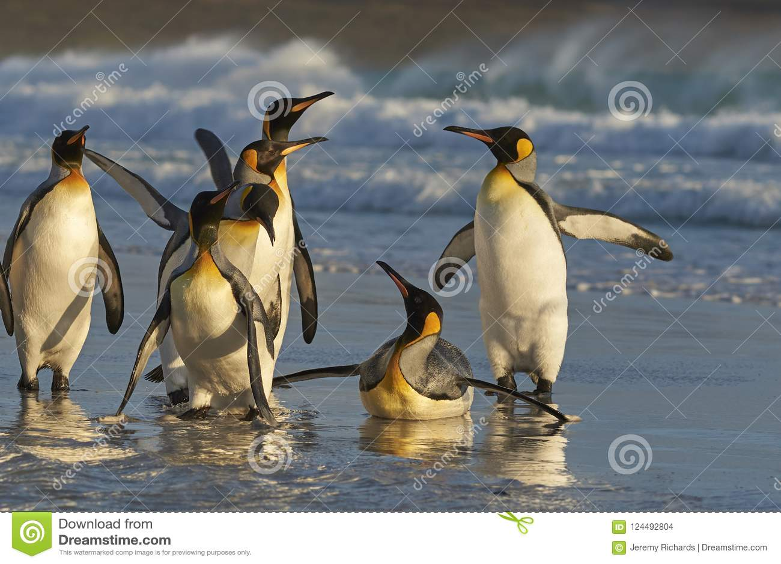 King Penguins at Dawn 82