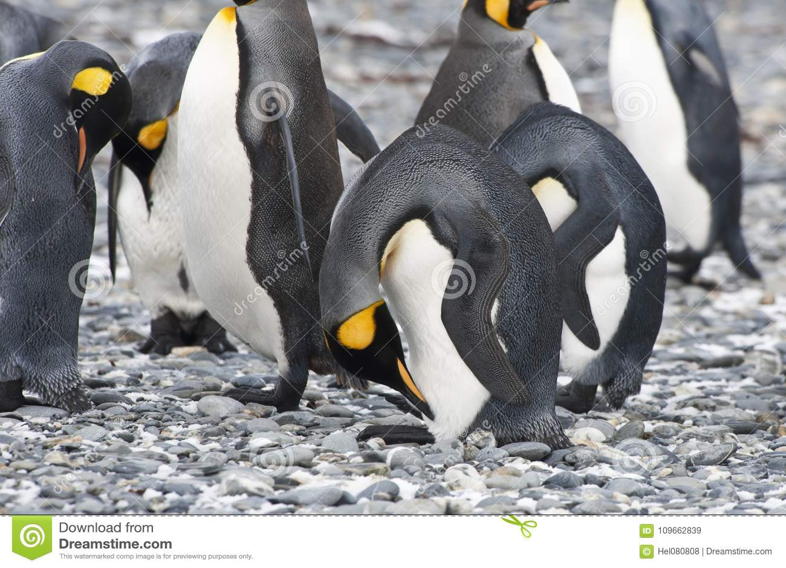 King penguins head bowed, Antarctica