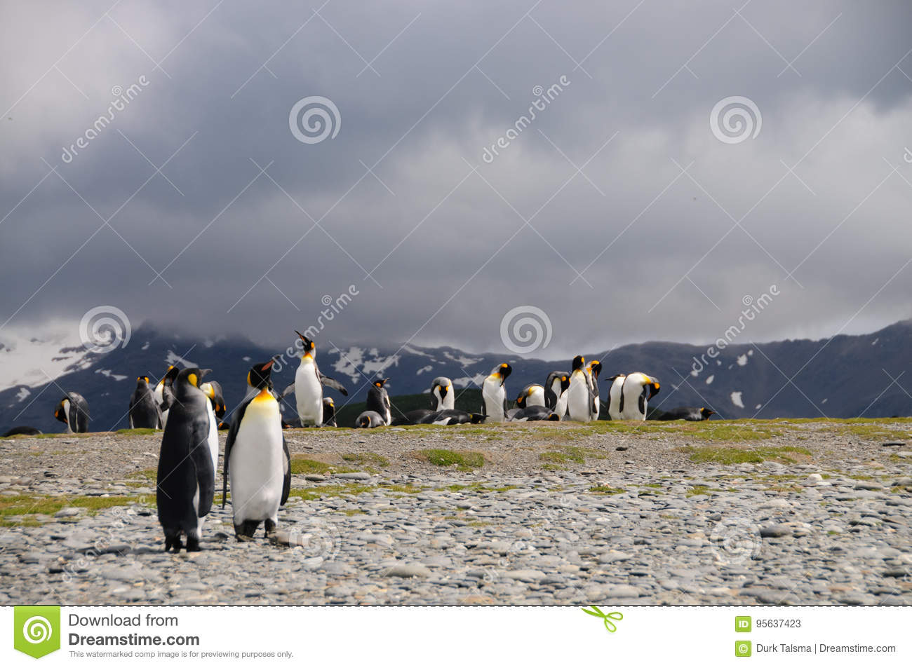 King Penguins on Salisbury plains