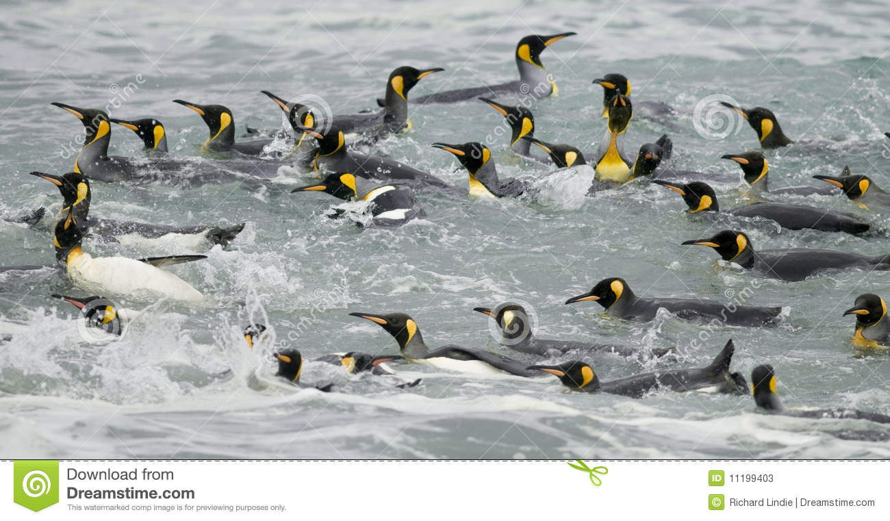 King Penguins Swimming in the Waves