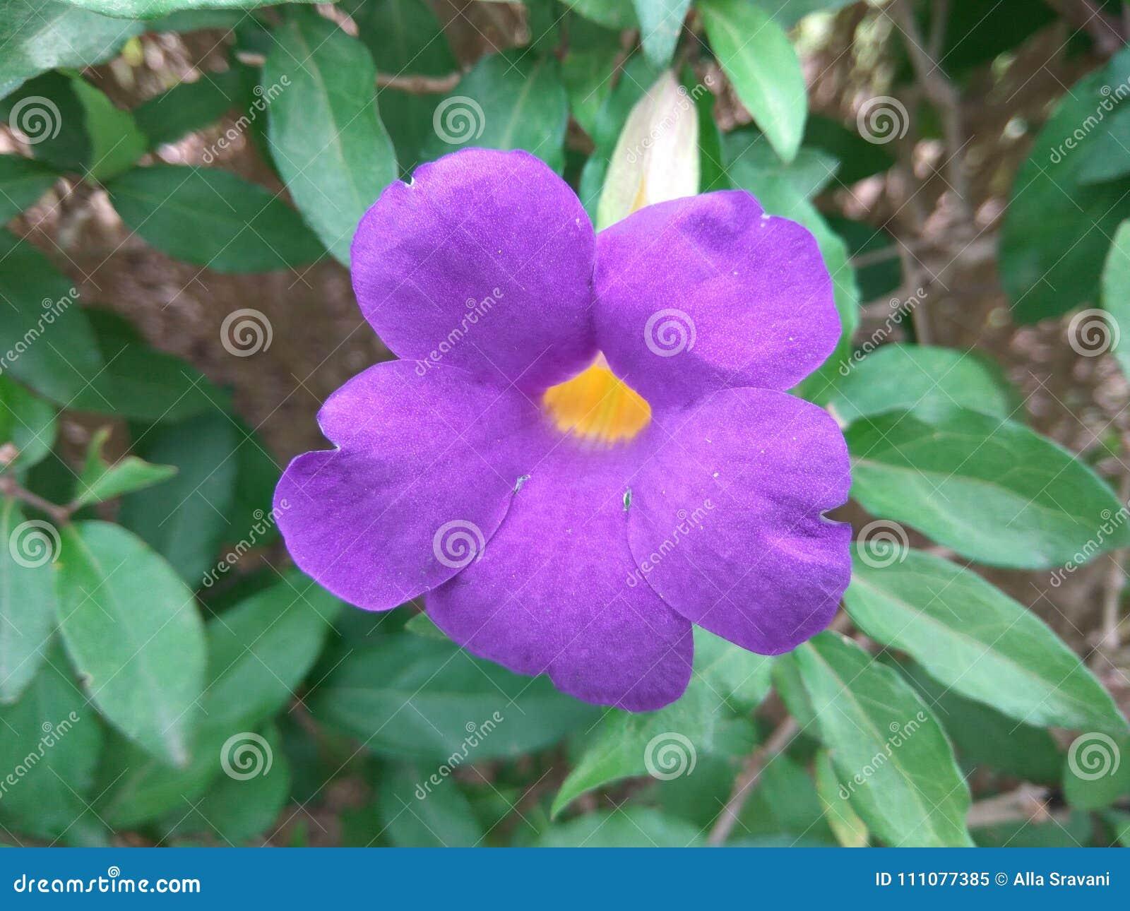 Kings Mantle Or Purple Flower Stock Image Image Of Kings Nature