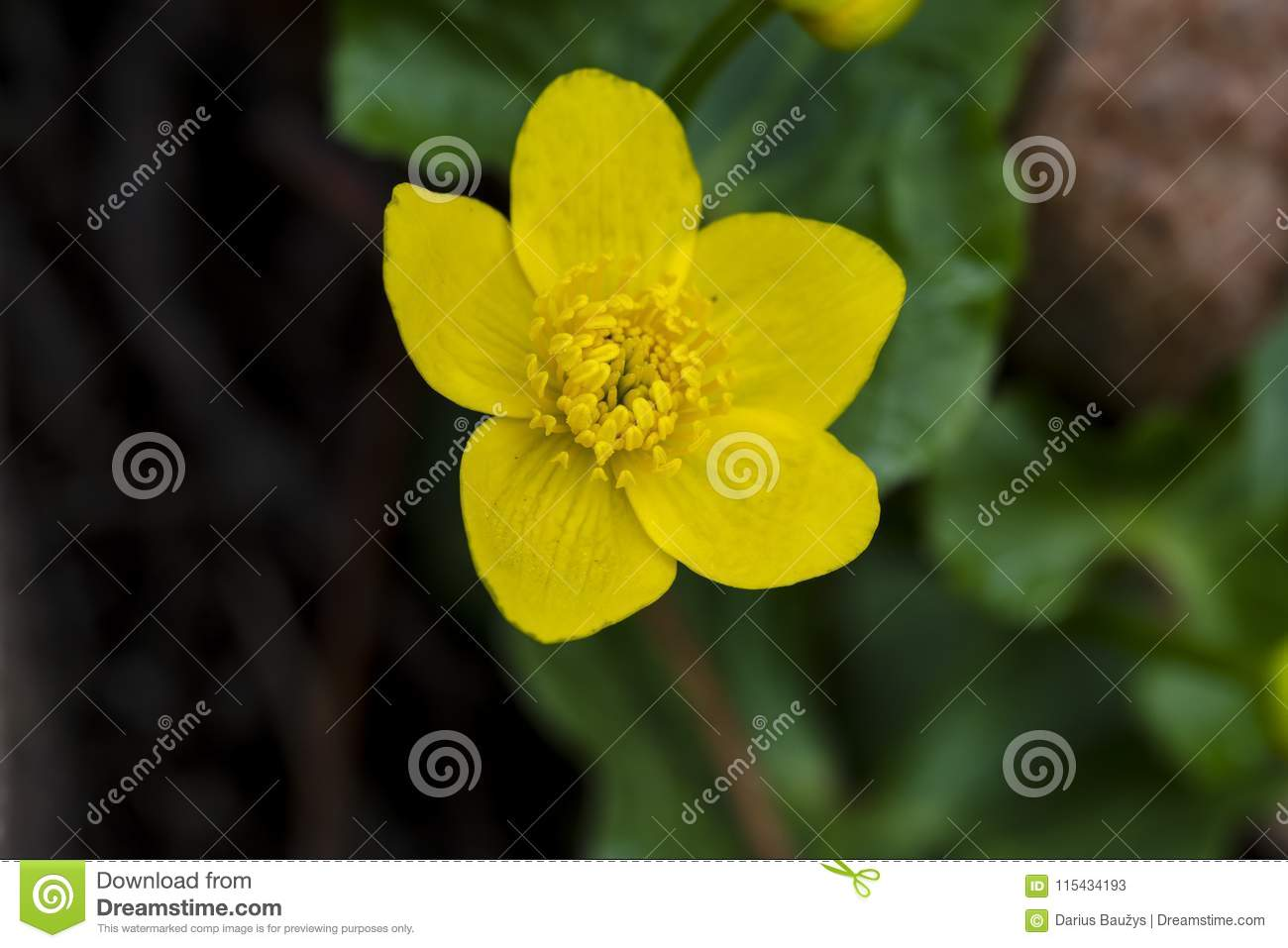 Kingcup, also known as marsh marigold