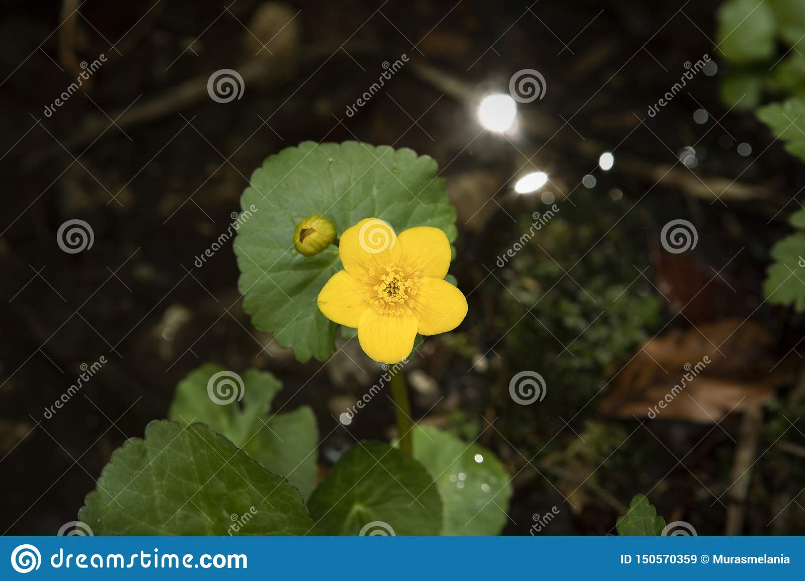 Kingcup flower, Marsh Marigold Caltha palustris in water. Yellow wild flower on dark background.