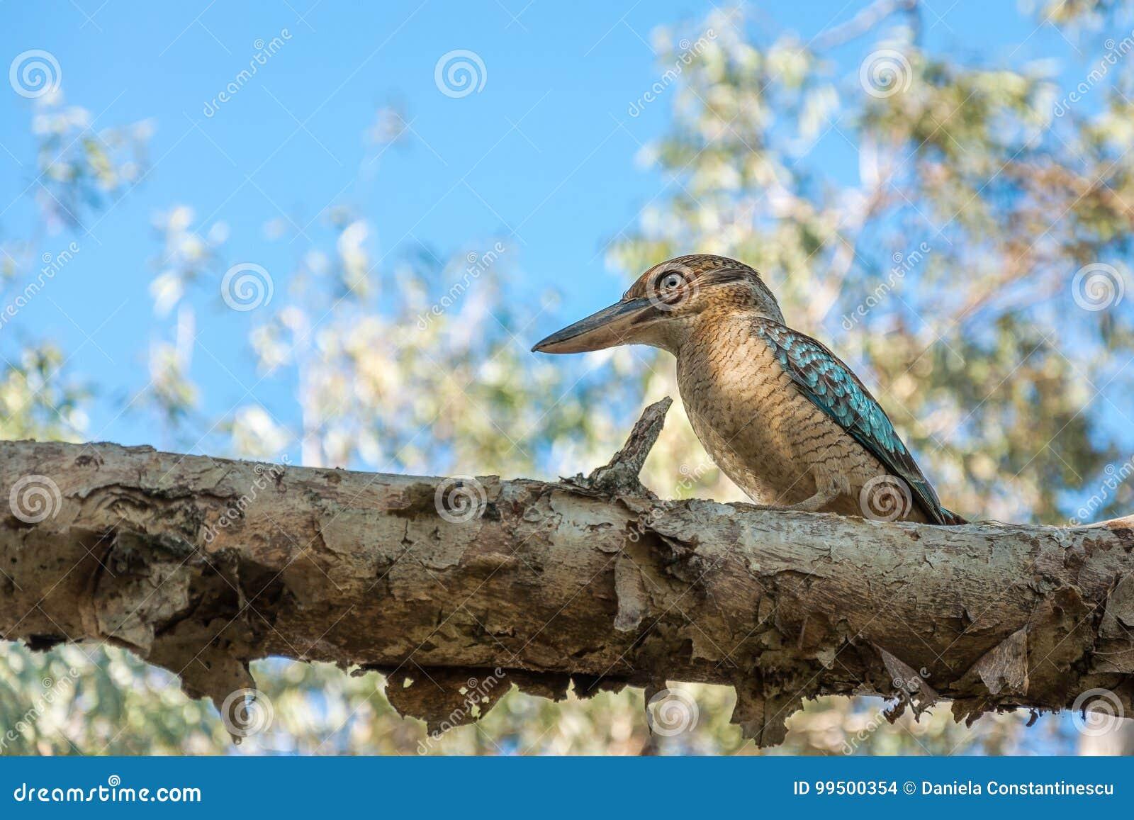 Kingfisher blue-winged Kookaburra on a tree branch at Katherine gorge, Australia