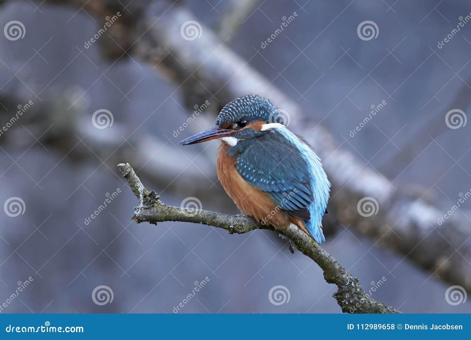 Kingfisher för alcedoatthiscommon