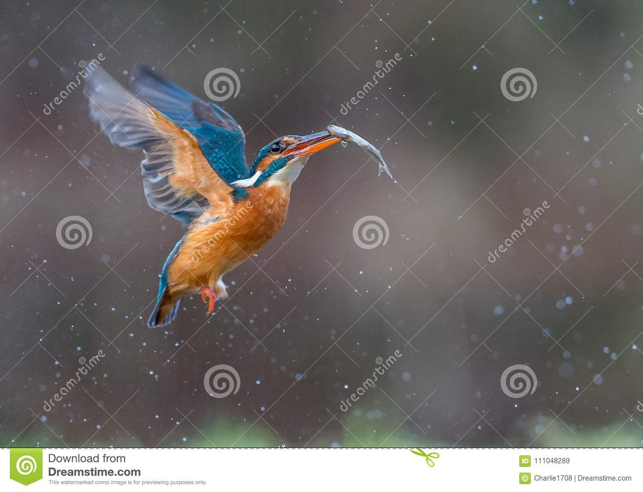 Kingfisher in flight with catch