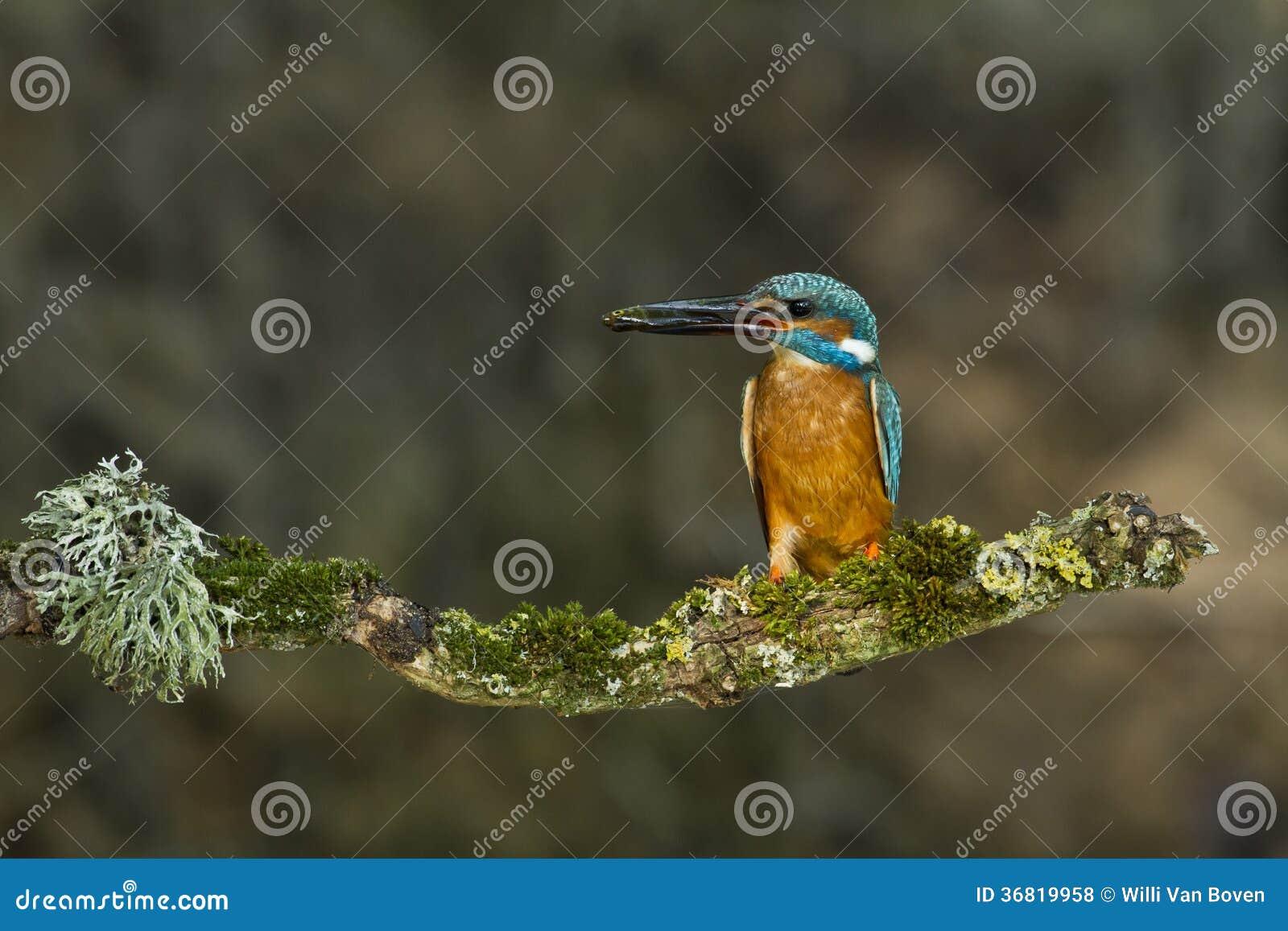 Kingfishers с stickleback Ninespine.