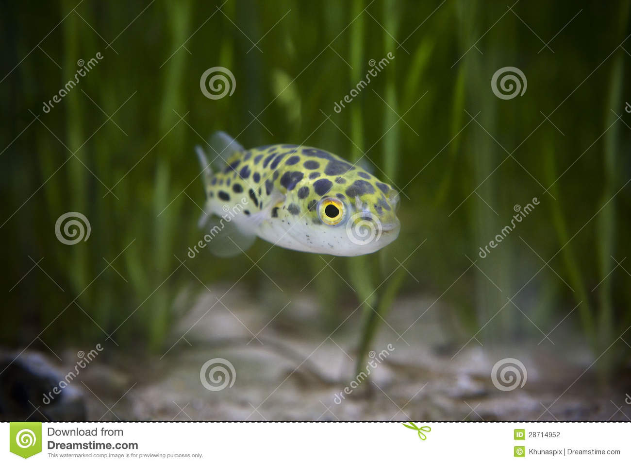 Download Kingkong Fish Or Puffer Fish Or Green Bowl Fish Or Green Spotted Puffer Stock Photo - Image of cool, save: 28714952
