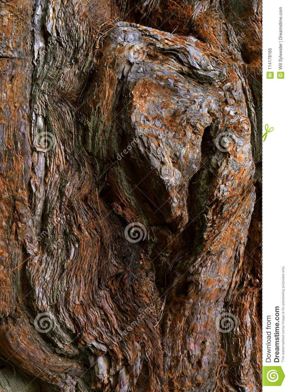 Kings Canyon, California - February 12 2018: Textures on the trunk of an ancient Sequoia tree in Redwood Valley