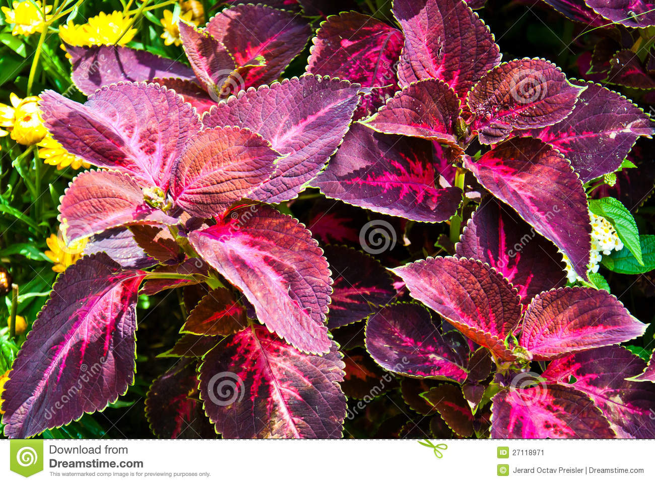 coleus plant stock photos, images,  pictures  , images, Natural flower
