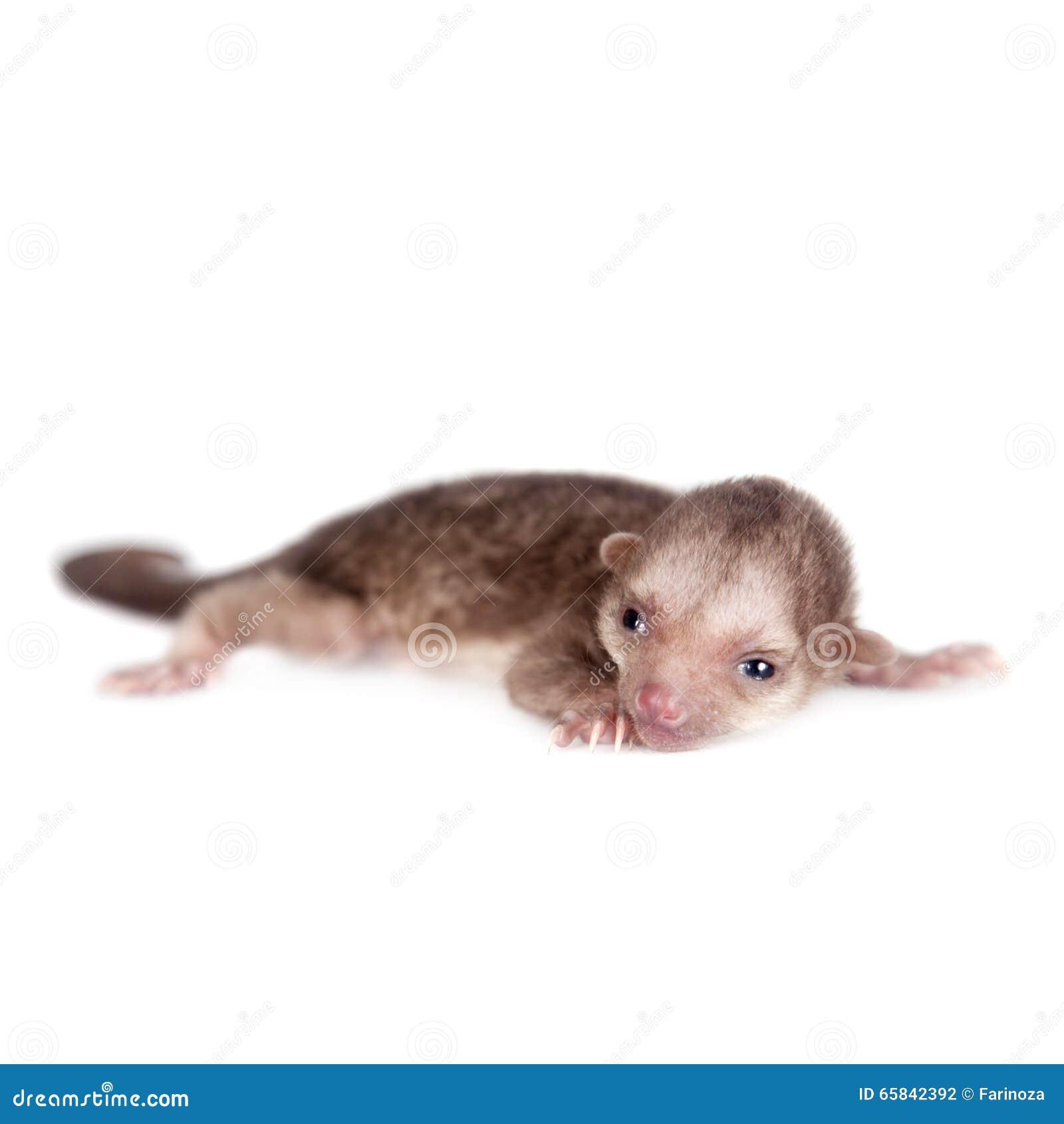 kinkajou potos flavus 1 month old baby on white stock photo