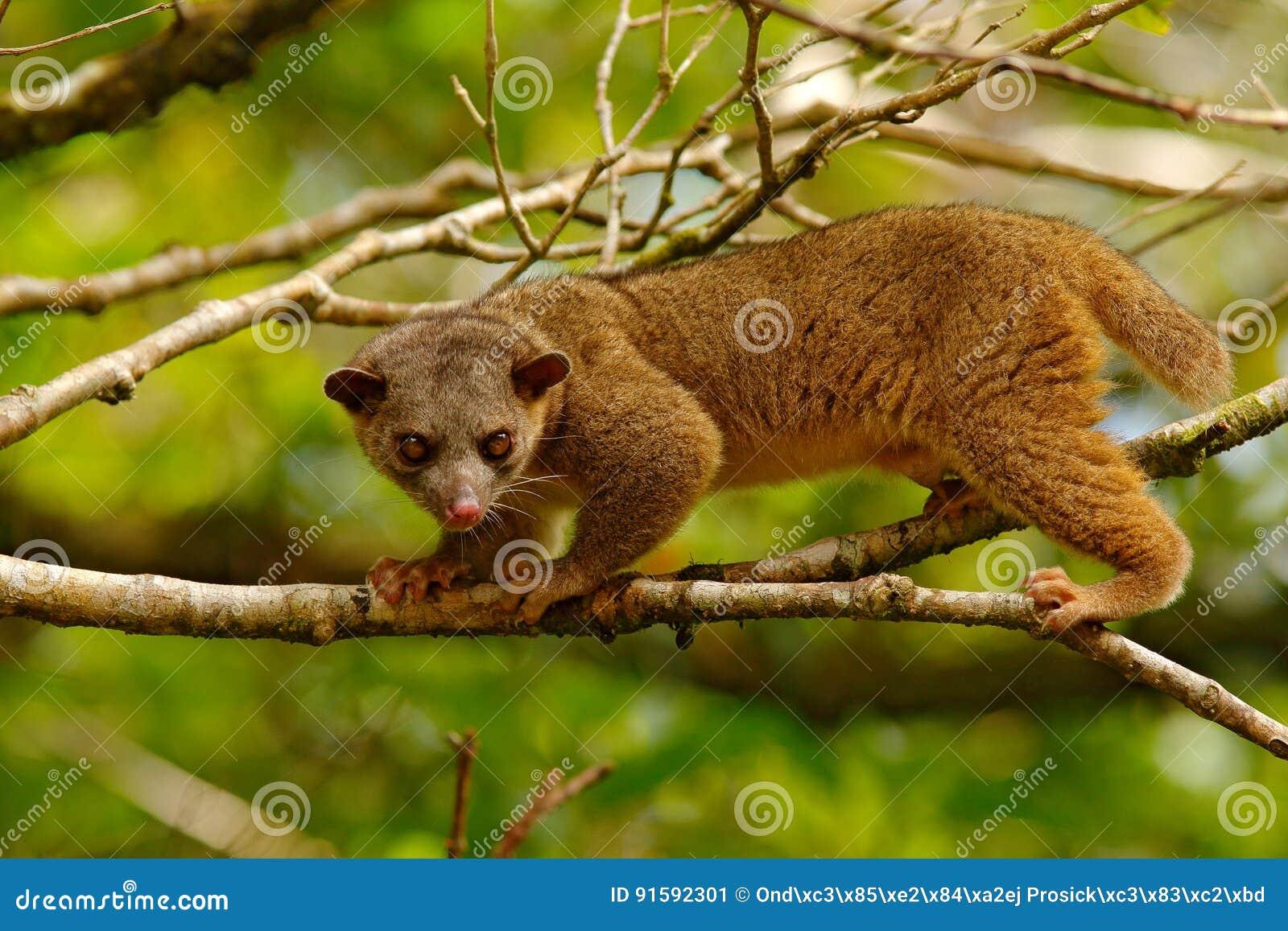 Kinkajou, Potos flavus, tropisch dier in de aard boshabitat Zoogdier in Costa Rica Het wildscène van aard Wilde Kinkajo