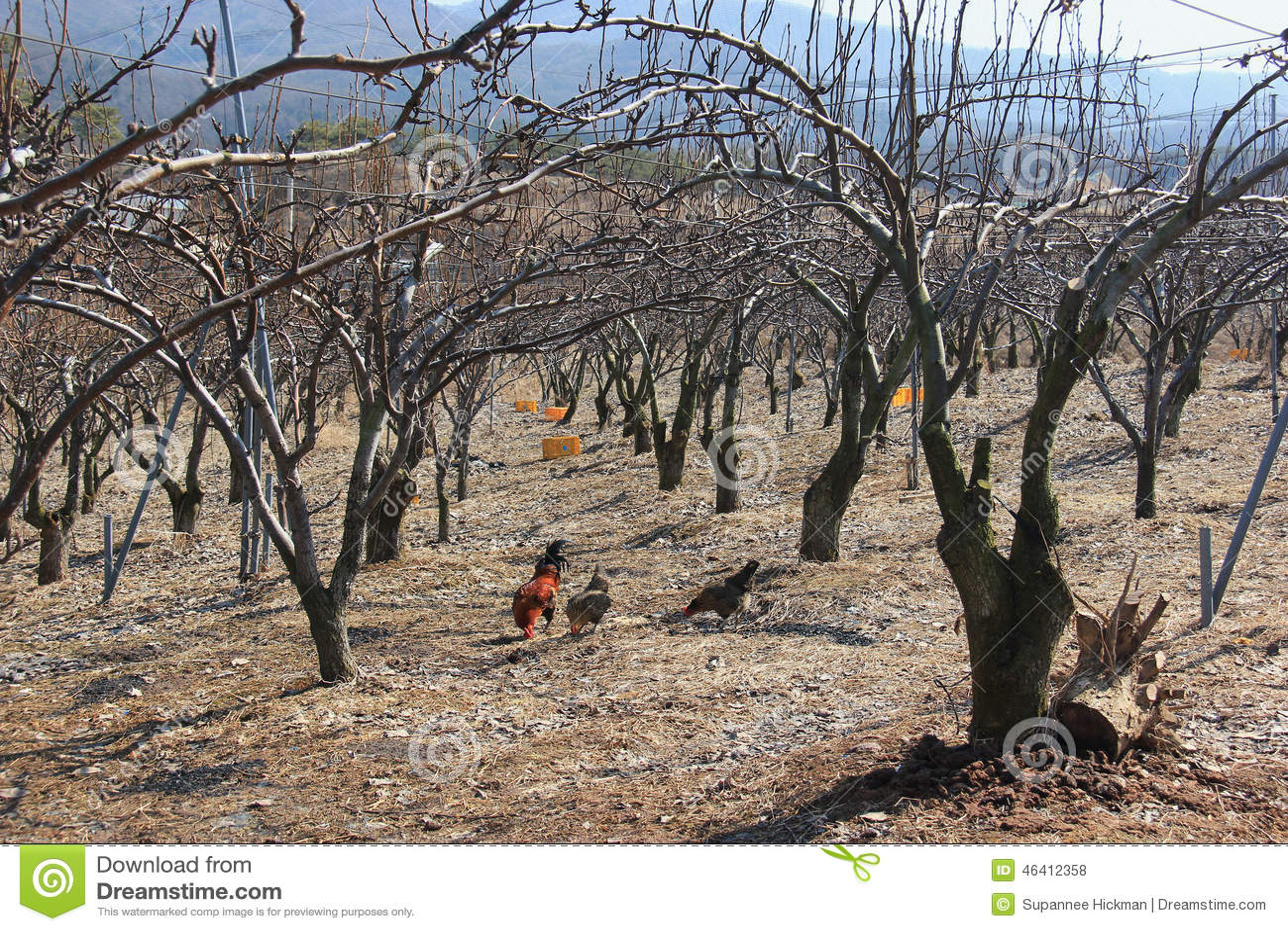 Kip en dode droge bomen stock foto afbeelding 46412358 - Foto droge tuin ...