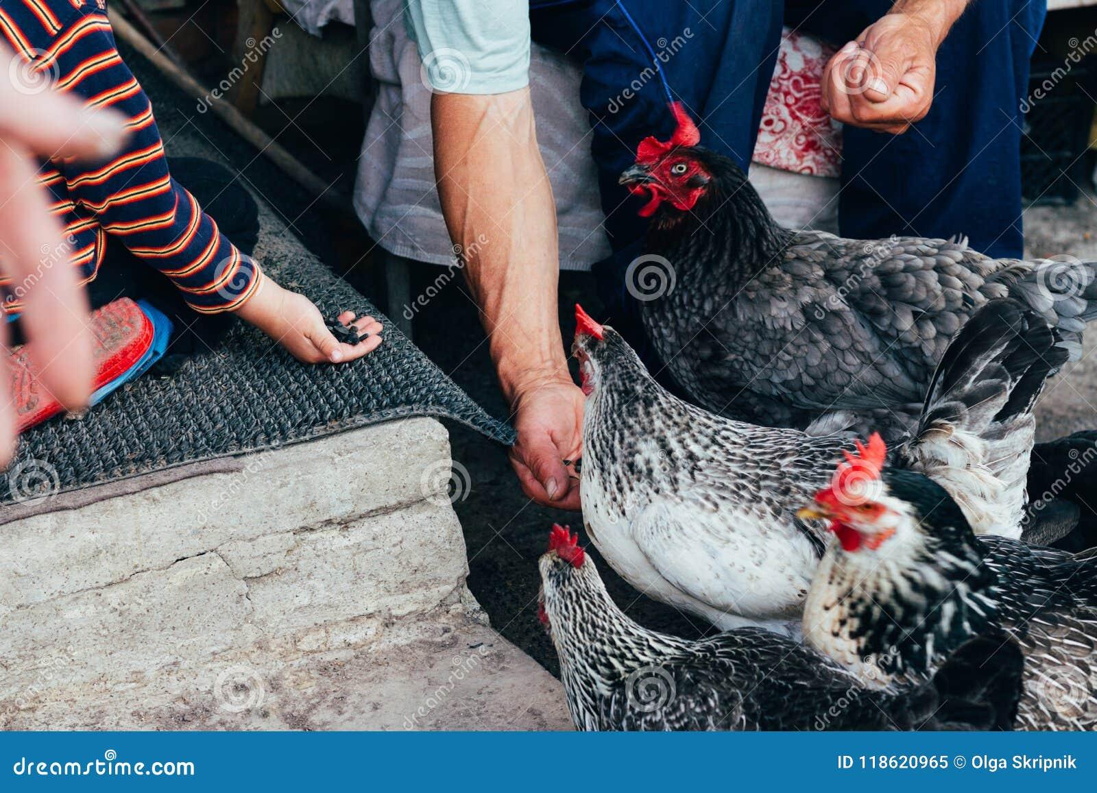 Kip het voeden de jongen en de mens worden gevoed van handen een zwarte kip met een rode kam
