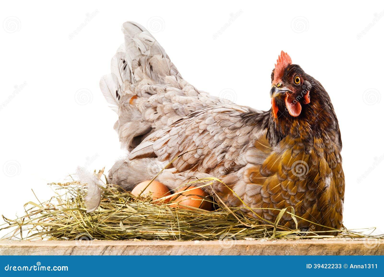 Kip In Nest Met Eieren Op Wit Worden Geïsoleerd Dat Stock Foto ...