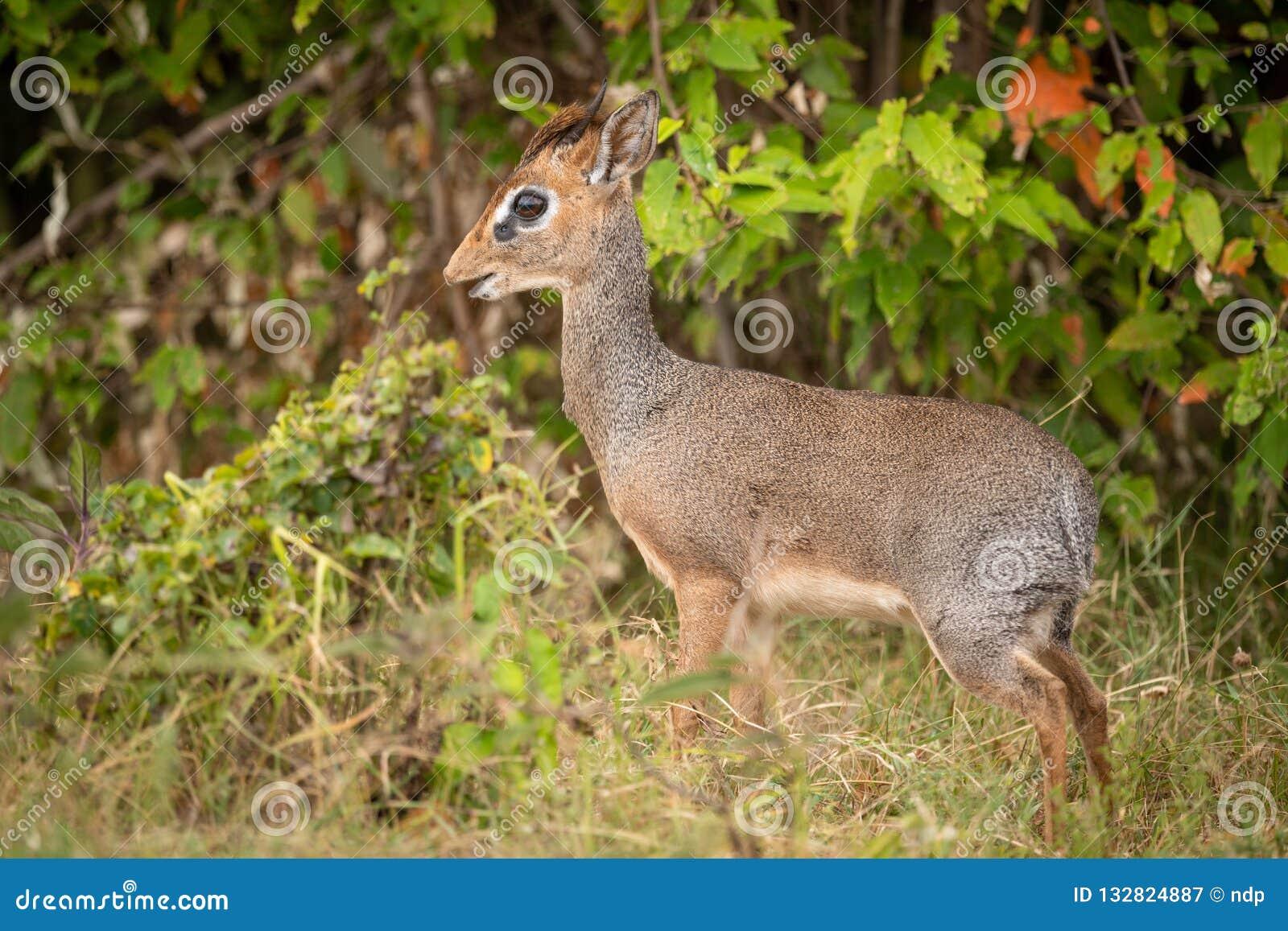 Kirk dik-dik stands in profile in bushes