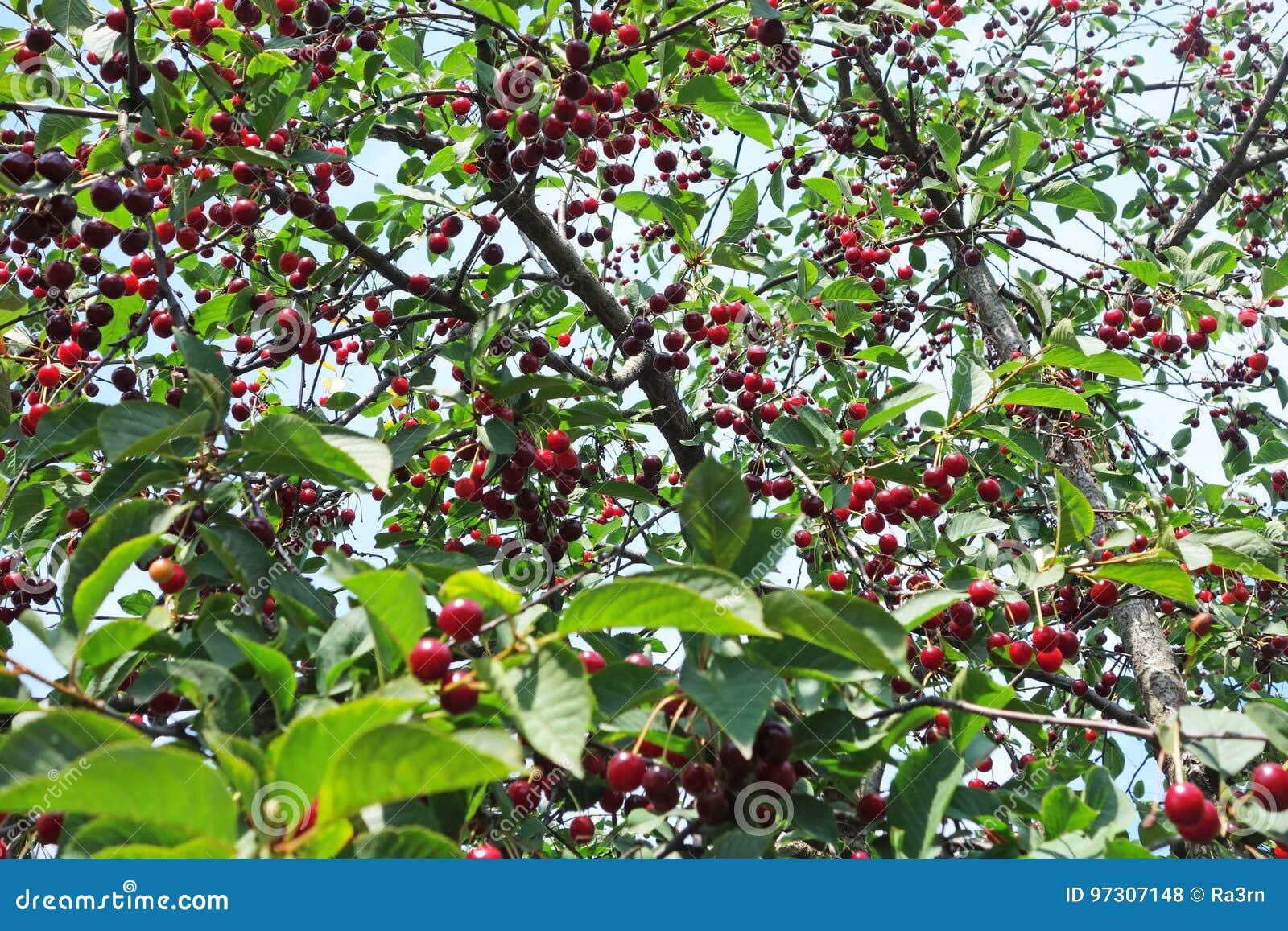 Kirschbaum mit reifen Beeren