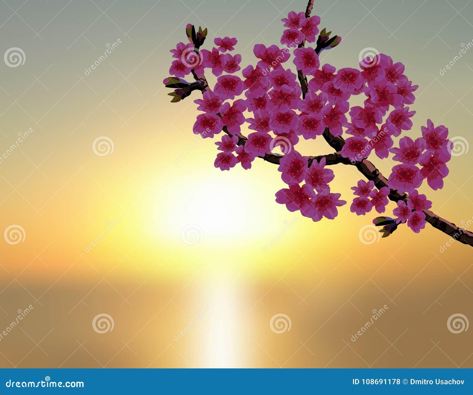 Kirschblüte im Hintergrund eines schönen Sonnenuntergangs Ein Stoff kurvte Niederlassung eines blühenden Kirschbaums mit purpurro