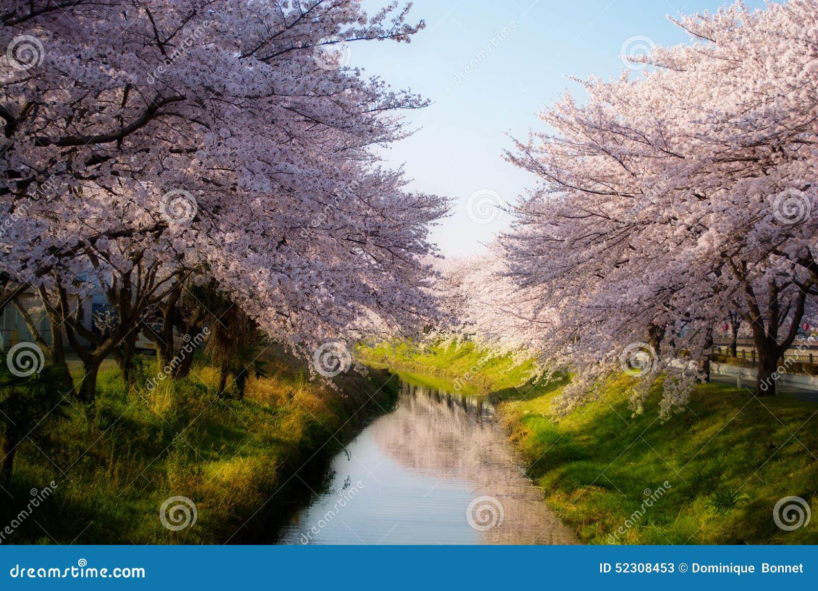 Kirschblüte mit träumerischem Effekt #2