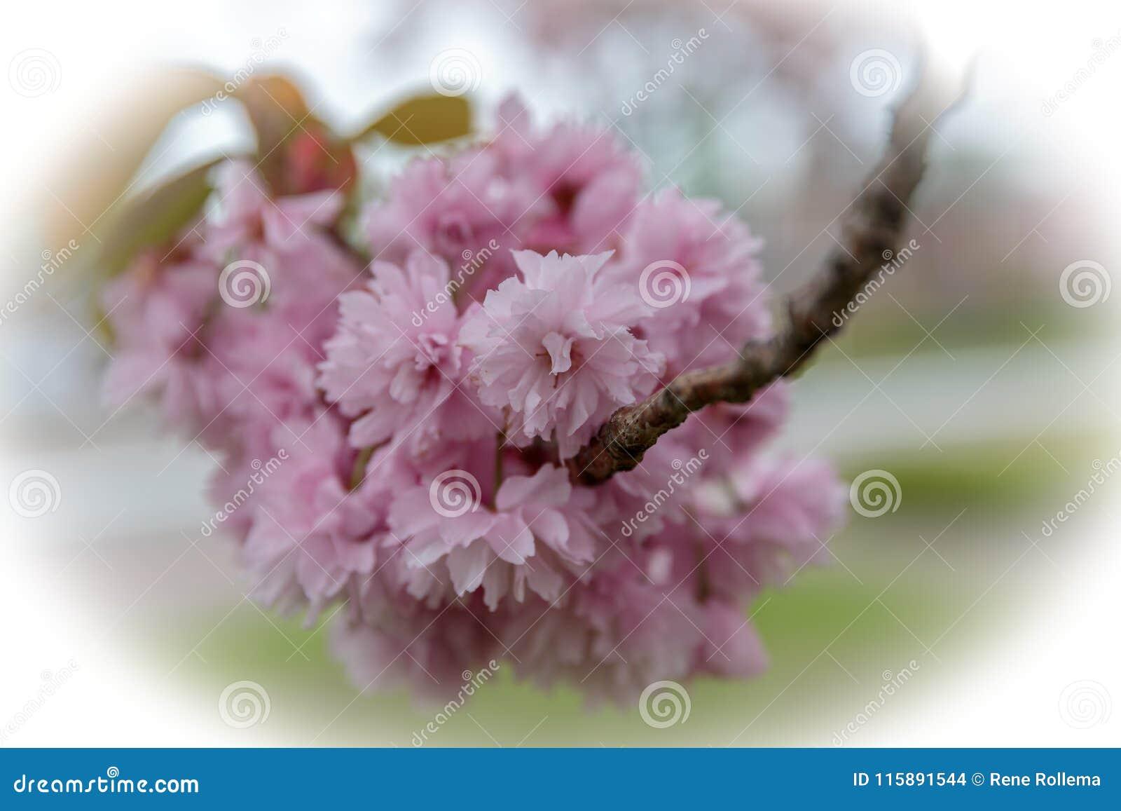 Kirschblüten Prunus serrulata ` Kanzan-`
