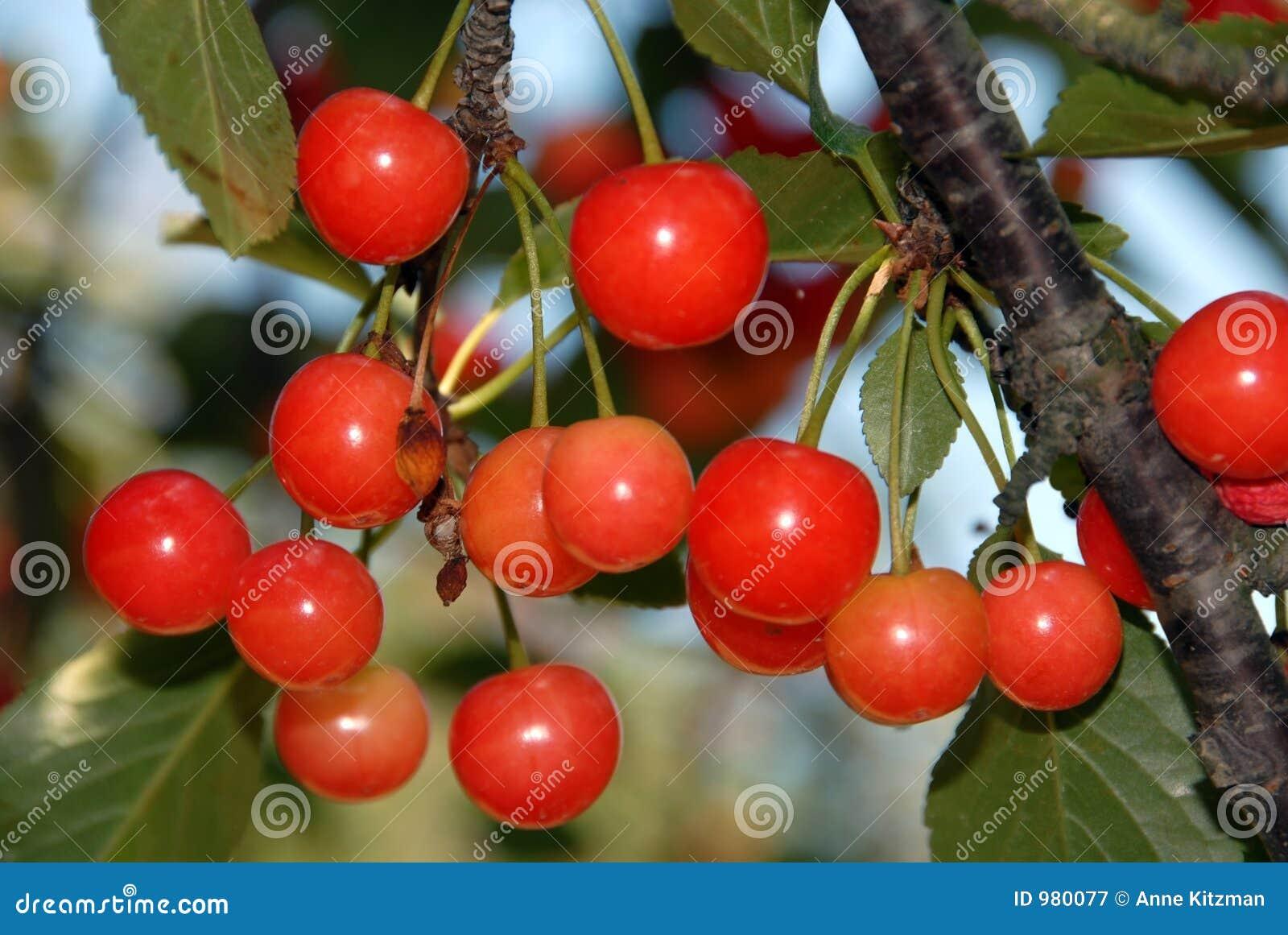 Kirschen auf dem Baum