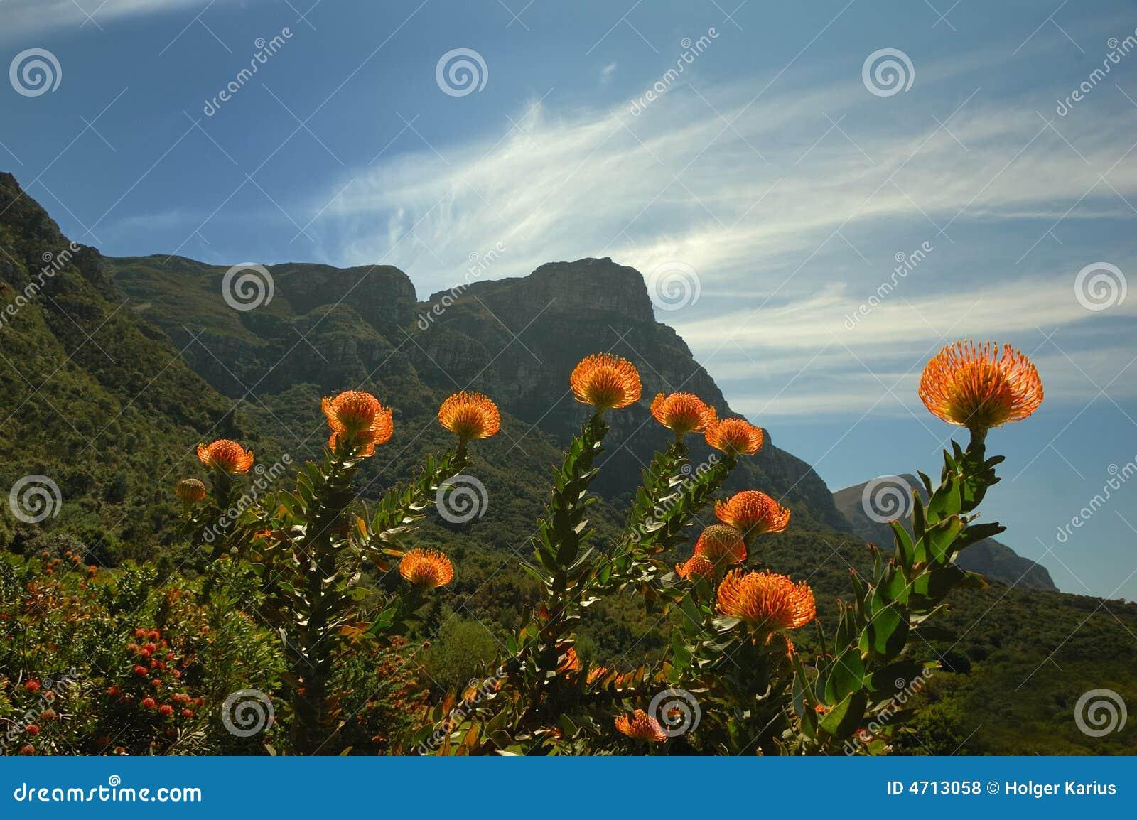 Kirstenbosch针垫