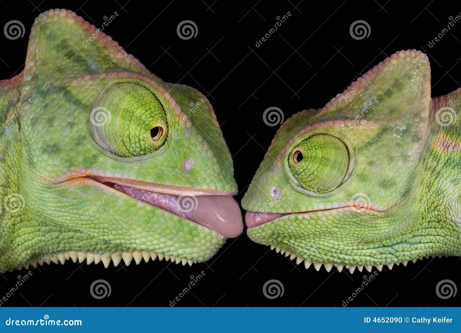 kissing-chameleons-4652090.jpg
