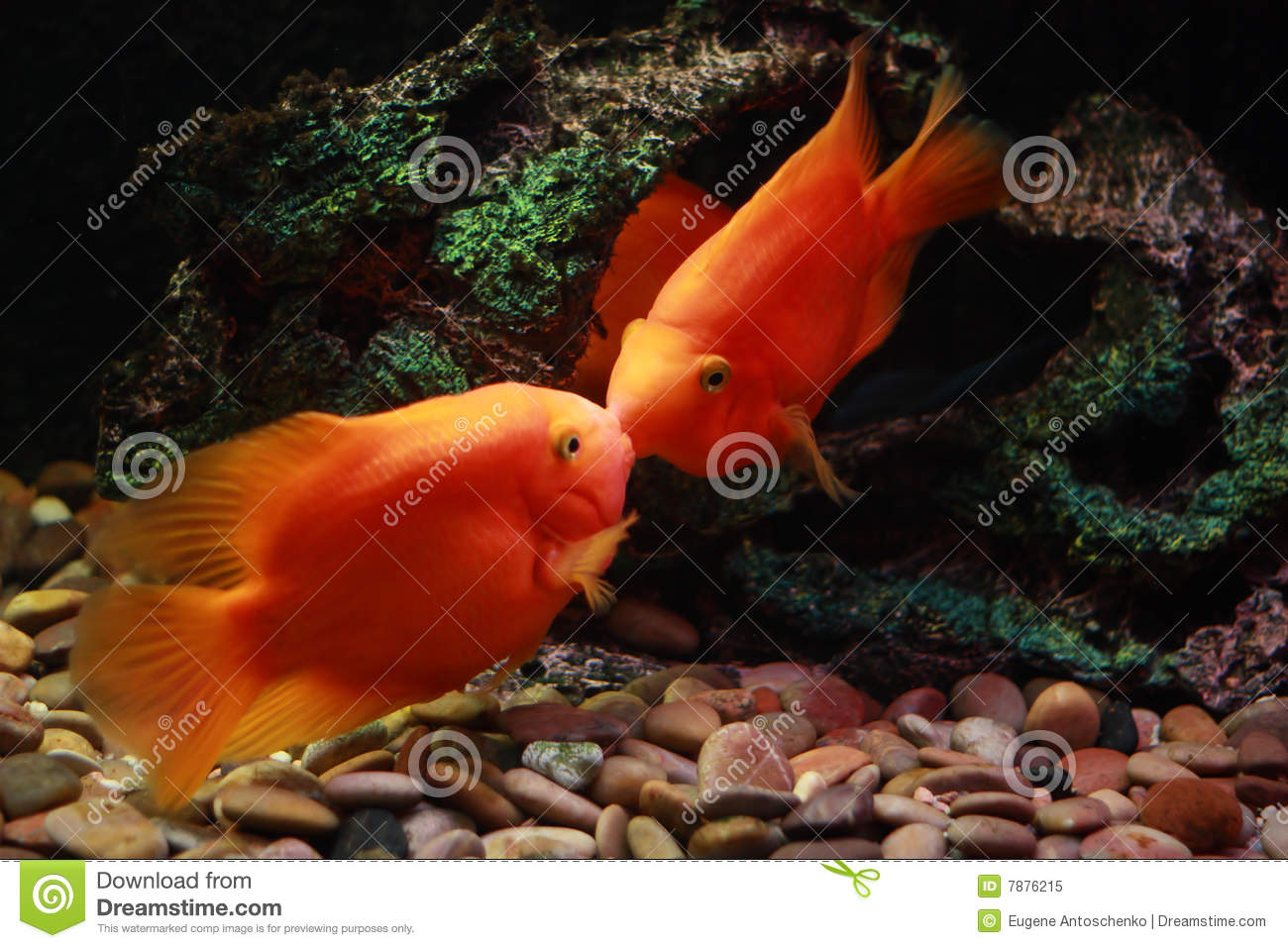 Kissing Fish Stock Photos, Images, & Pictures - 255 Images