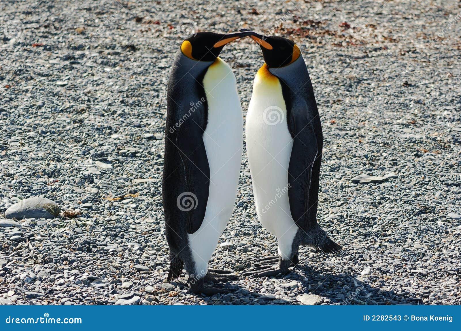 Aninimal Book: Kissing King Penguins Stock Photos - Image: 2282543