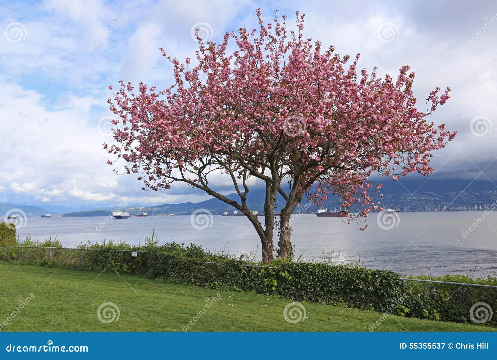 Kitsiliano Cherry Blossoms