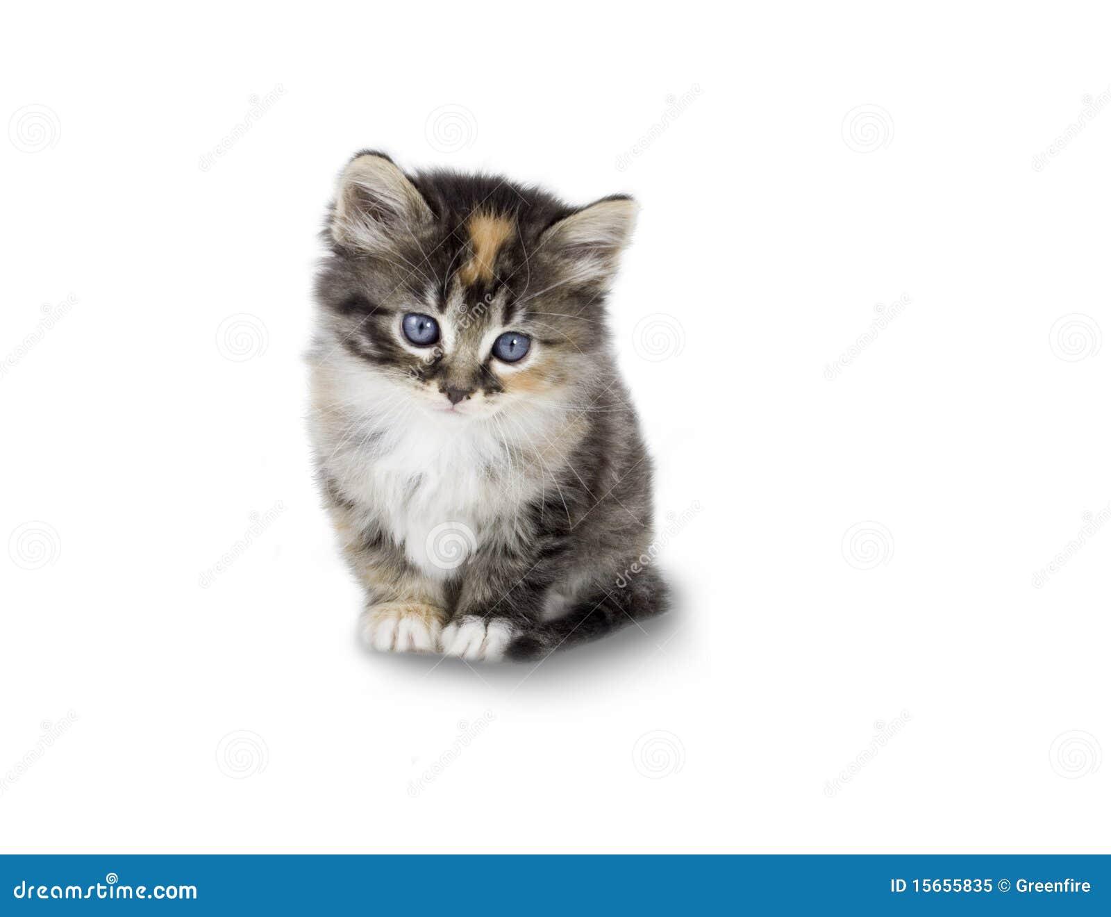 Kitten stock image Image of inquisitive alert mammal