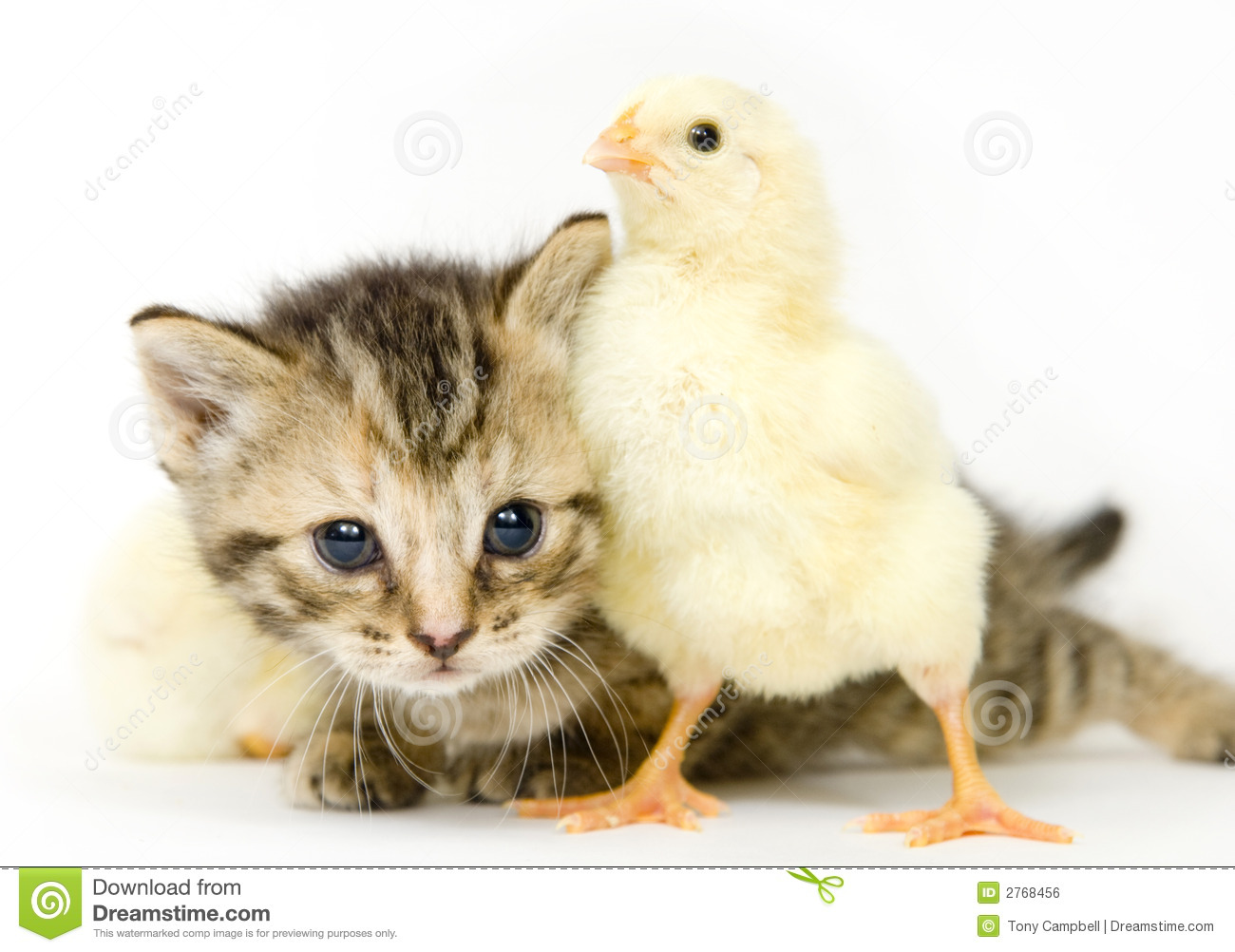 Kitten Baby Chick Stock Photos, Images, & Pictures - 88 Images