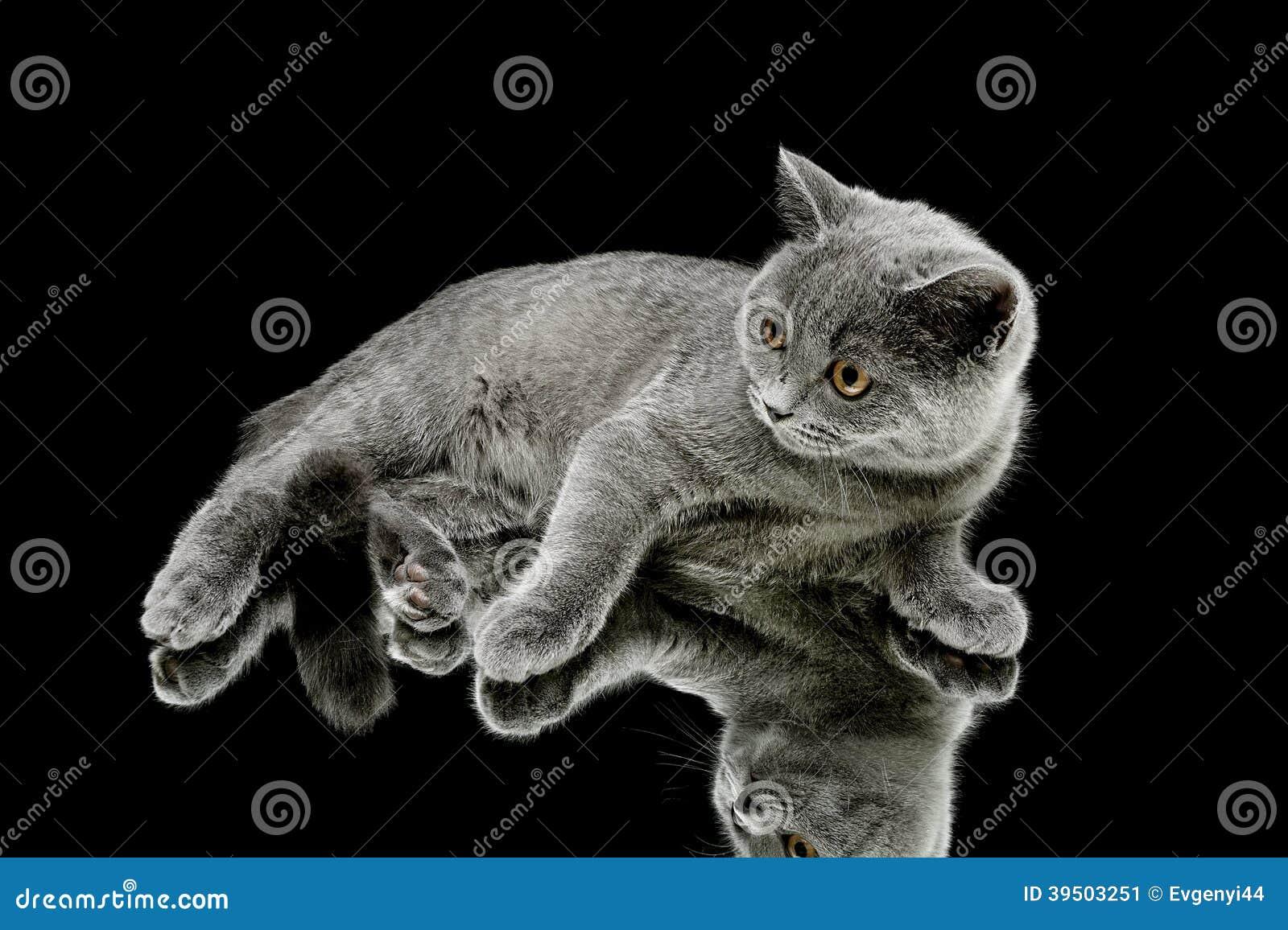 Kitten (breed Scottish Straight) on black background