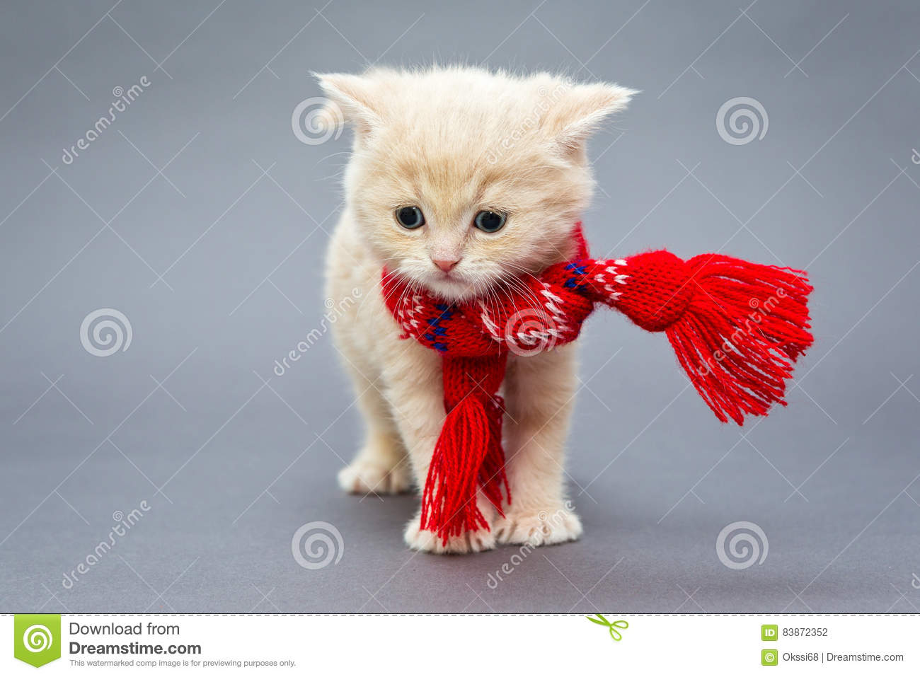 Kitten British breed with a scarf