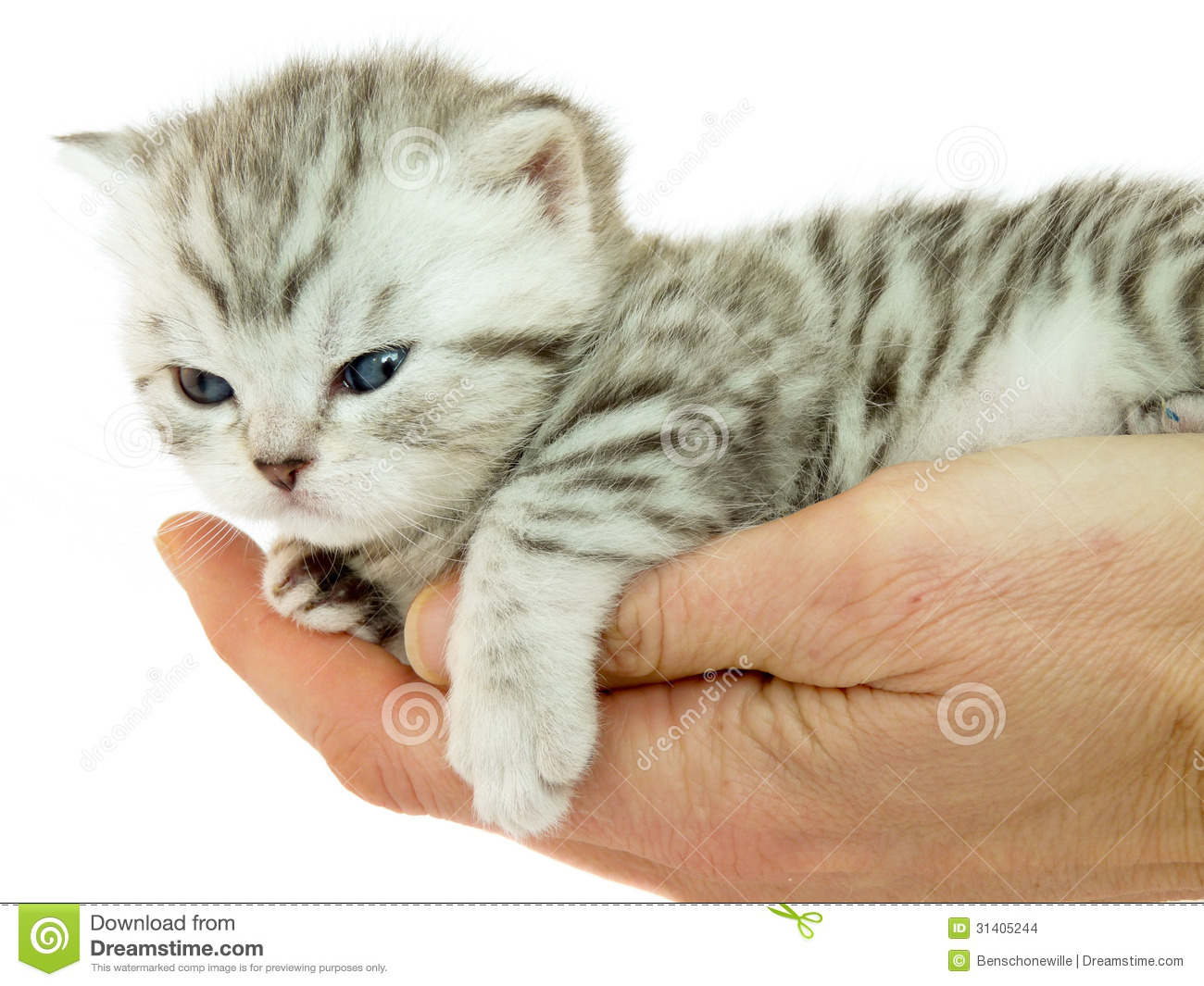 Kitten British Short Hair Black Silver Tabby Spotted Lying On A Hand