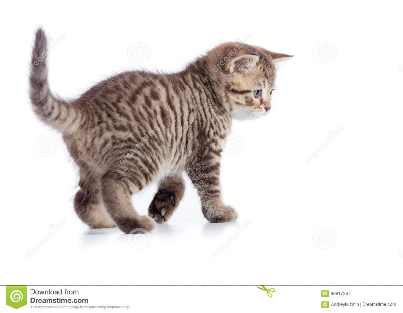 Young tabby cat side view. Walking kitten isolated on white.