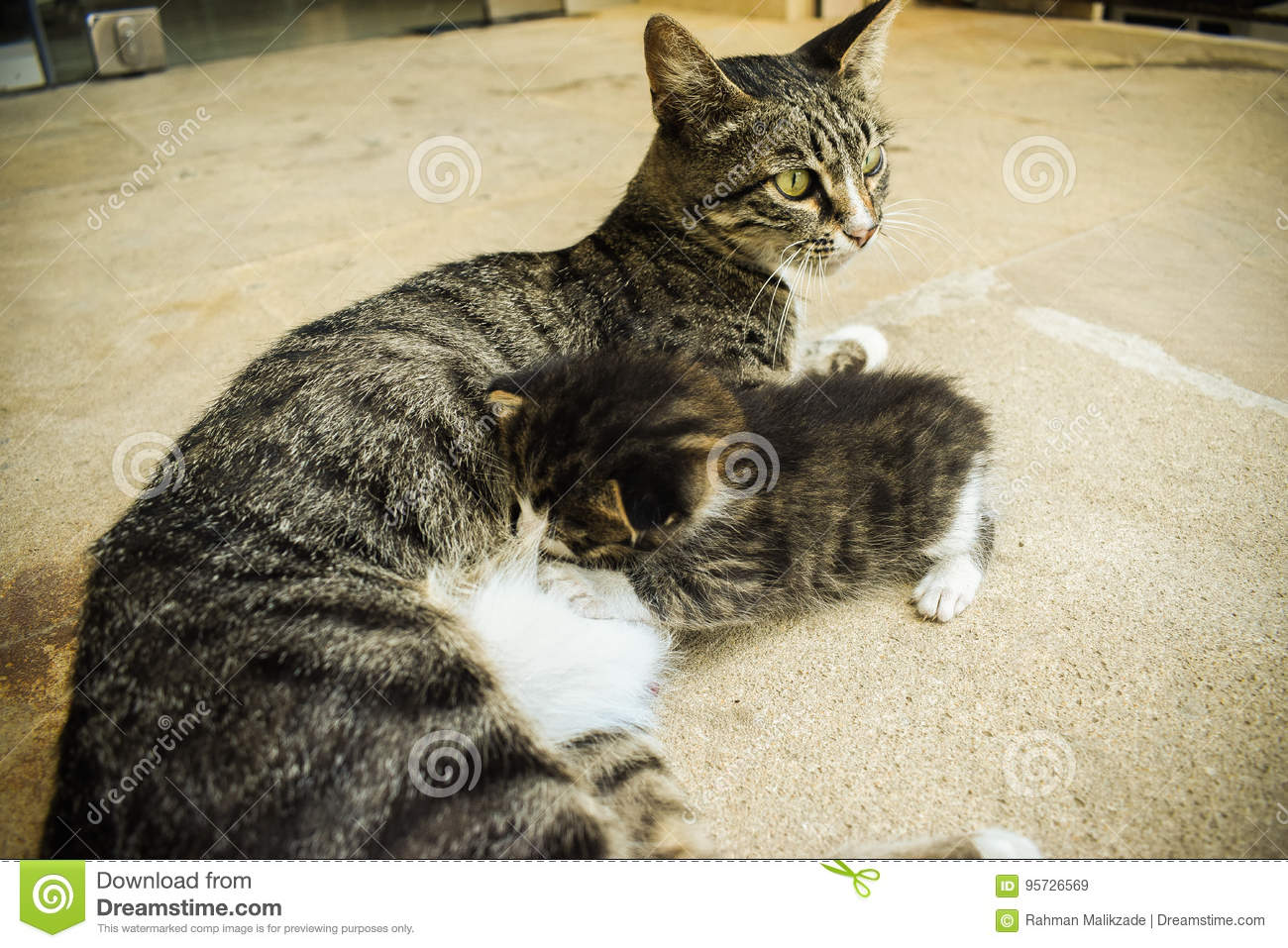 The Kitten Are Eating Into The Mother X27 S Milk Of Cat Stock Image Image Of Abstract Kitten 95726569