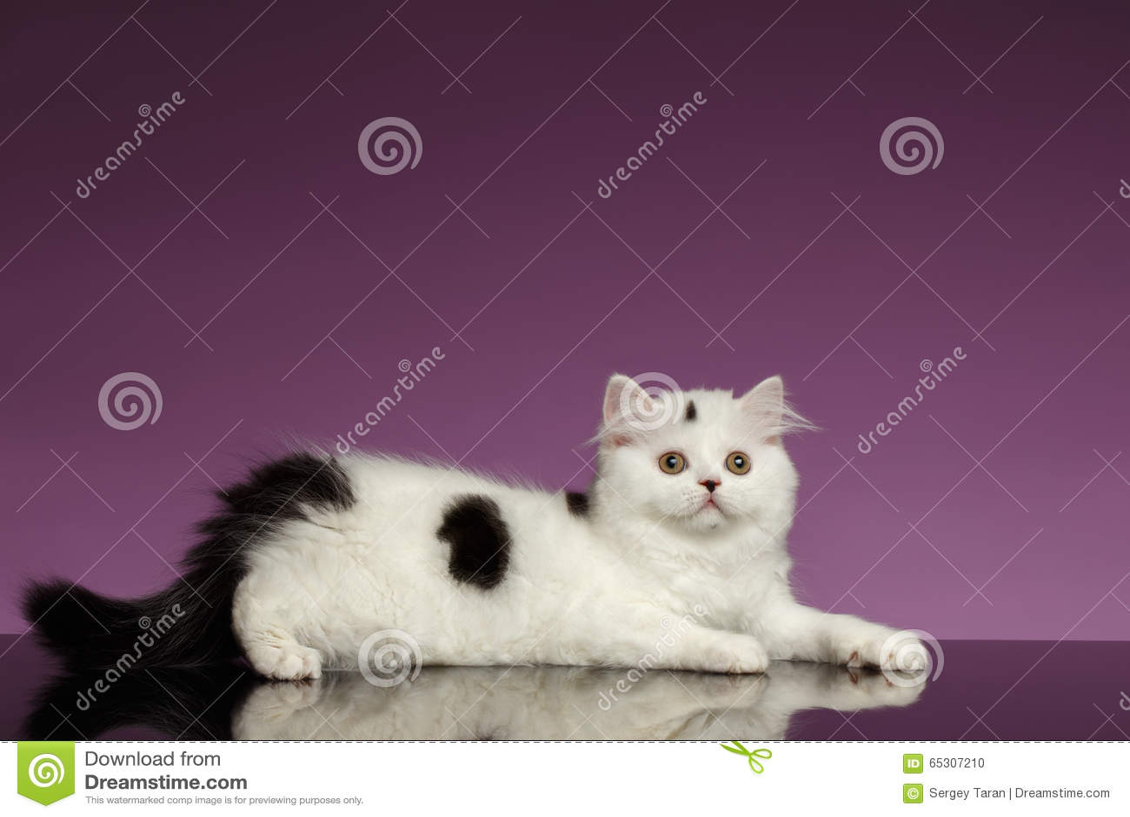 Kitten Lies recta escocesa blanca en púrpura