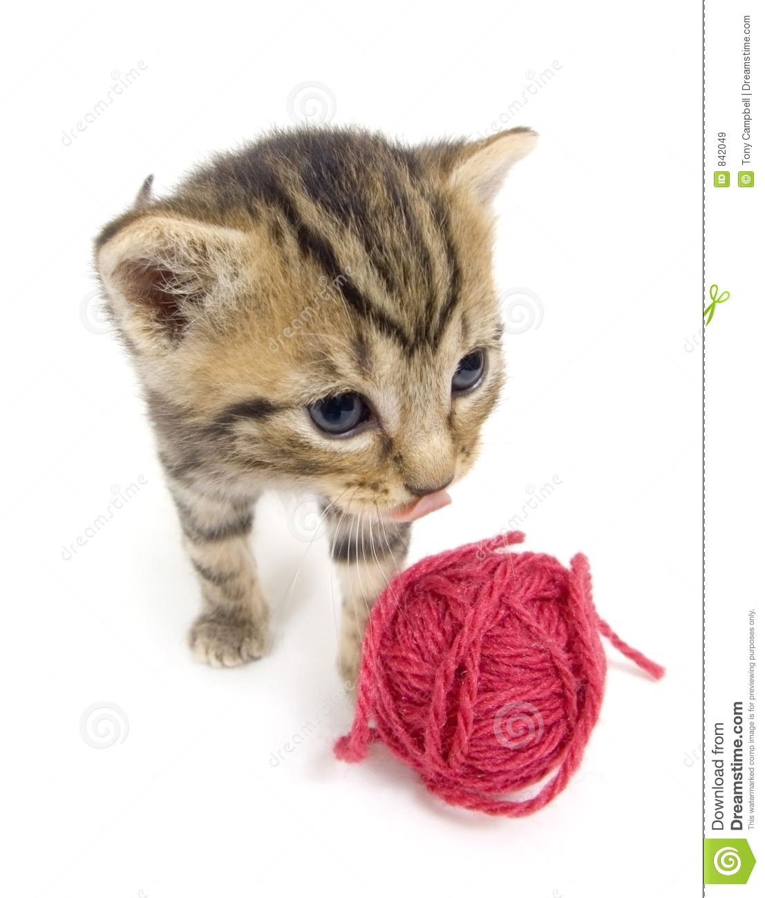 Kitten looking at red yarn on white background