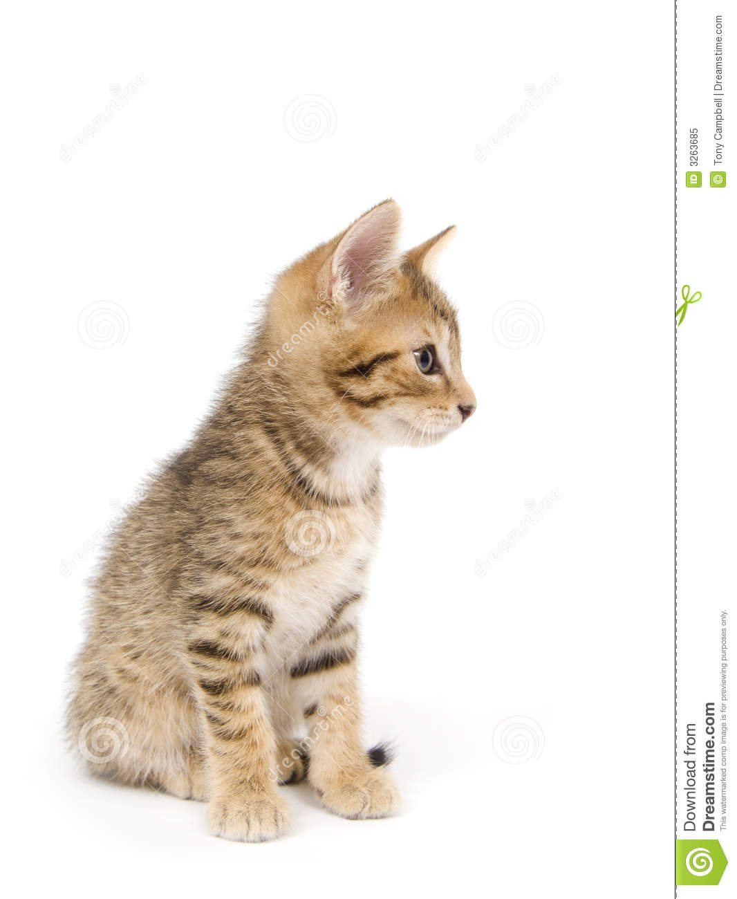 Kitten Looking Right Royalty Free Stock Photo Image 3263685