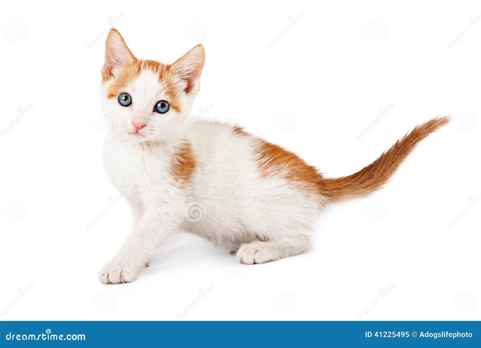 Kitten Orange And White Looking At Camera Stock Image Image