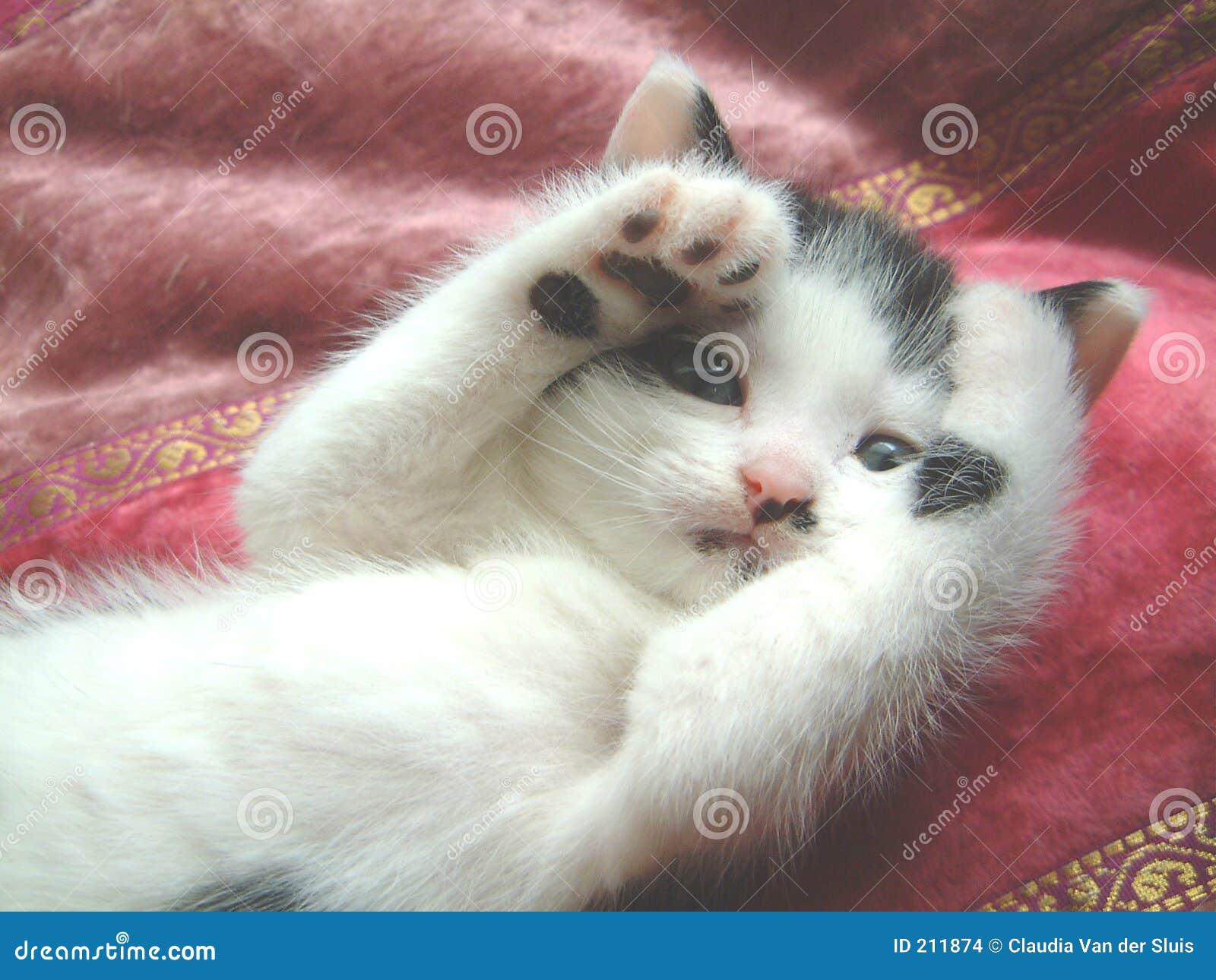 black oriental shorthair cat